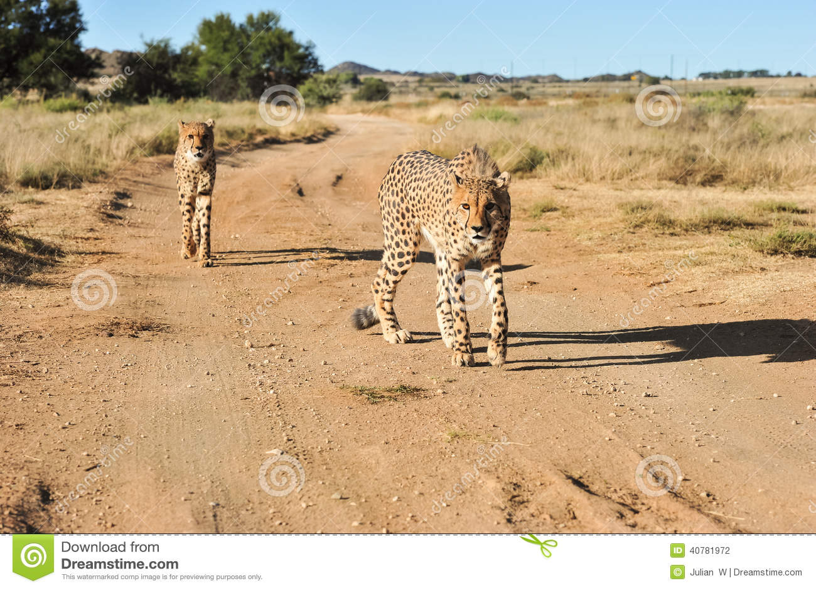 Een paar jachtluipaarden in beweging