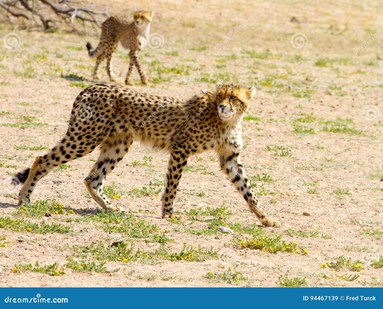 Een paar jachtluipaarden in het Grensoverschrijdende Nationale Park van Kgalagadi tussen Zuid-Afrika, Namibië, en Botswana worden