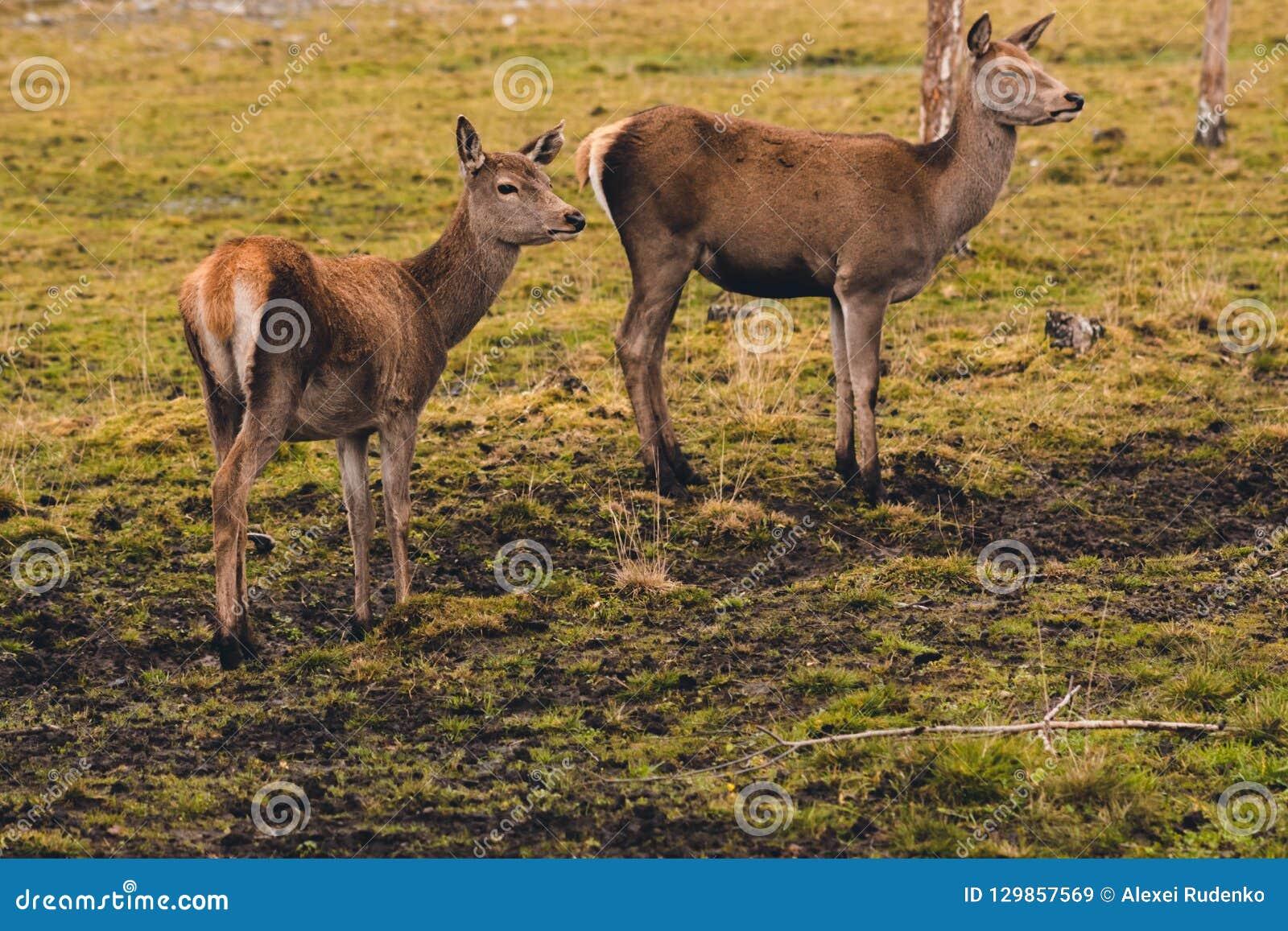 Een paar jonge herten die nog niet hoornen hebben gekweekt loopt door een weiland en opgehouden bij een berk voelend het gevaar