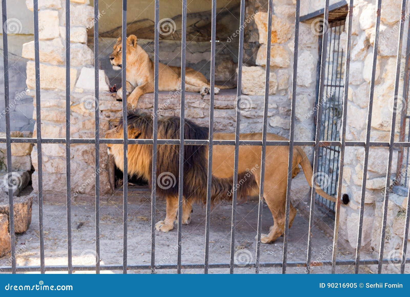 Een paar leeuwen in gevangenschap in een dierentuin achter de tralies Macht en agressie in de kooi