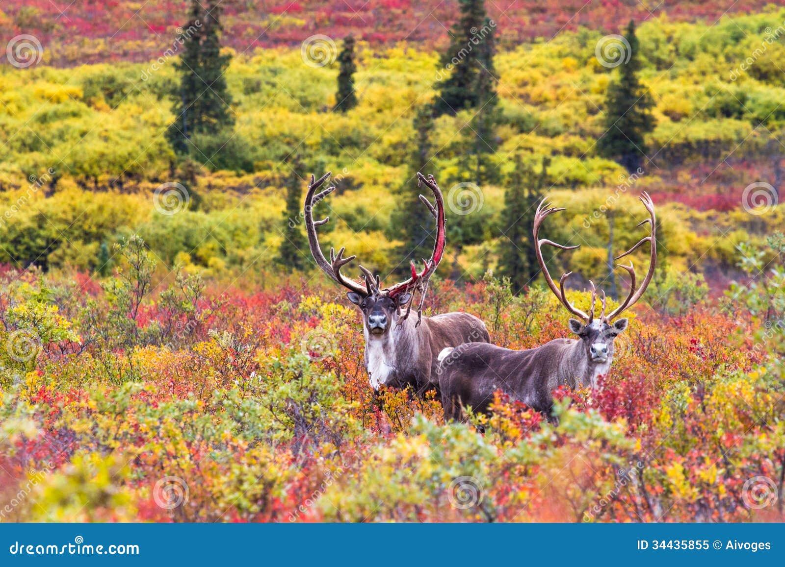 Een paar van kariboe in de herfst in het nationale park van Denali in Alaska