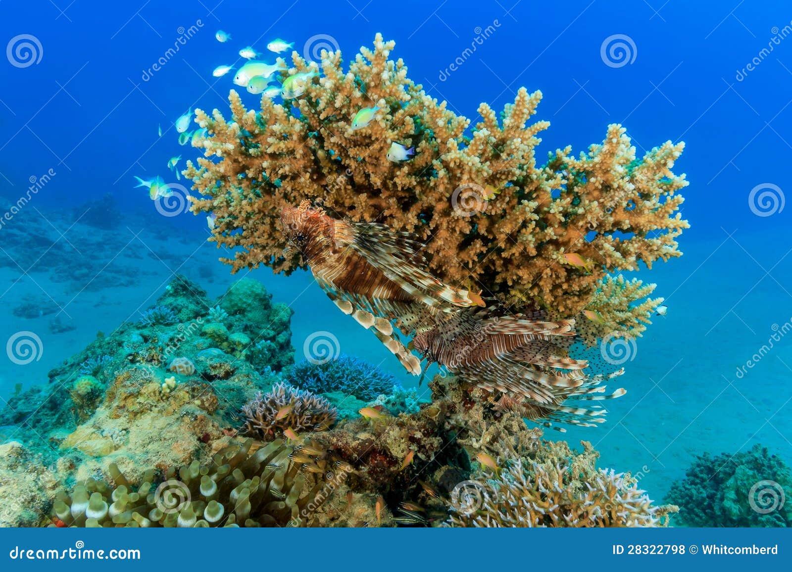 Een paar van Lionfish op een koraal van de acroporalijst