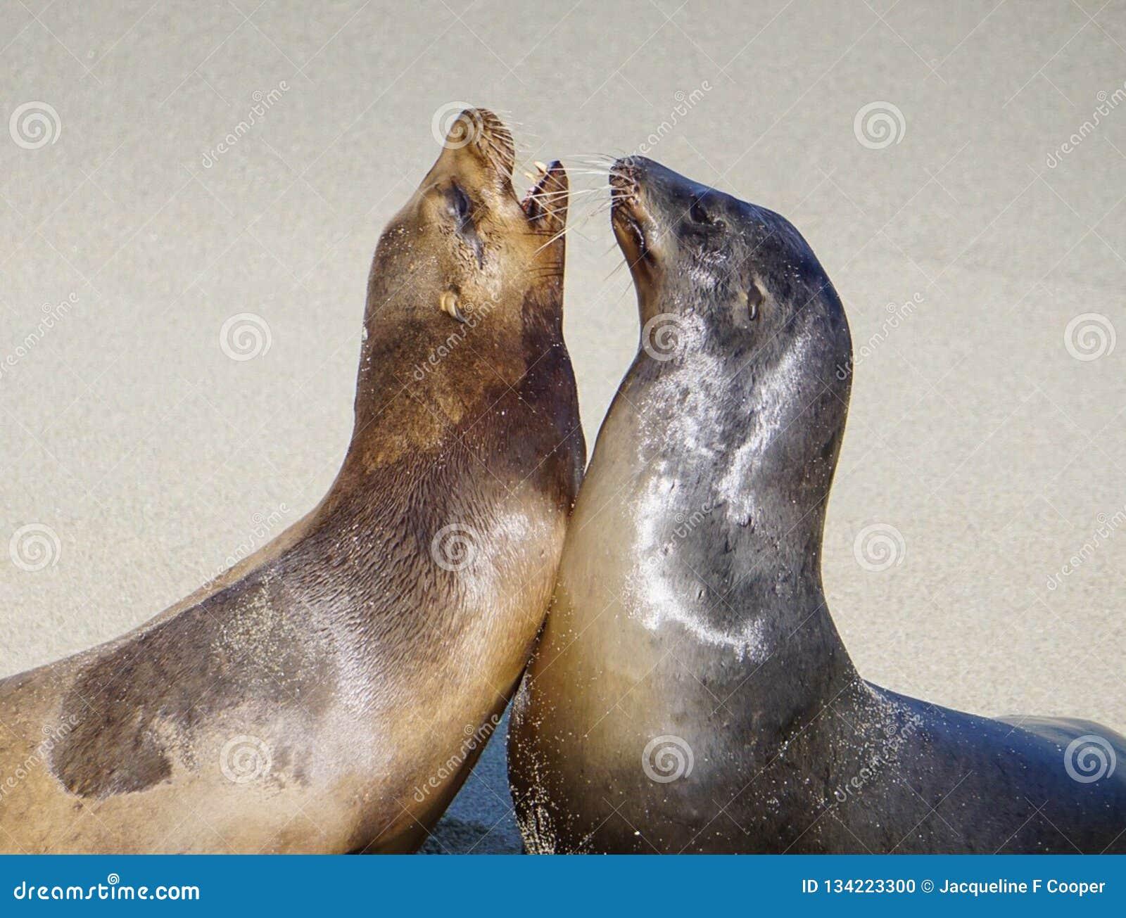 Een paar Zeeleeuwen