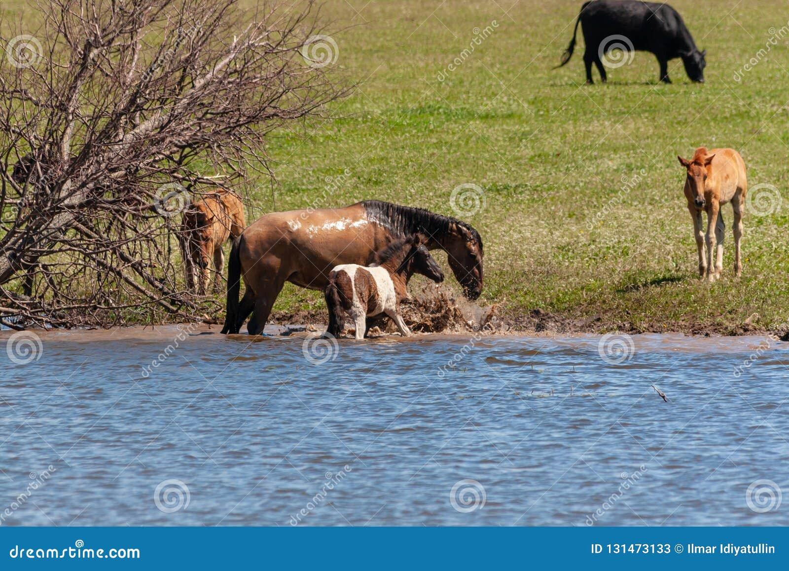 Een paard met zijn veulentribune in het water De paarden en de koeien weiden in de weide