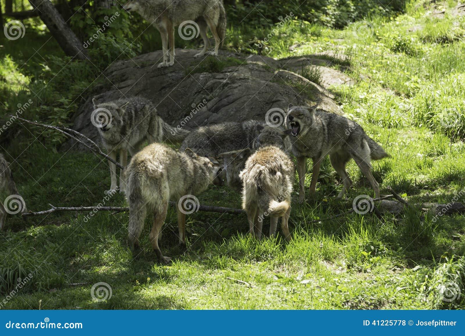 Een pak huilende Coyotes