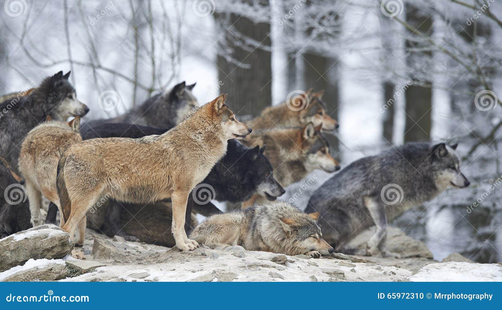 Een Pak wolven