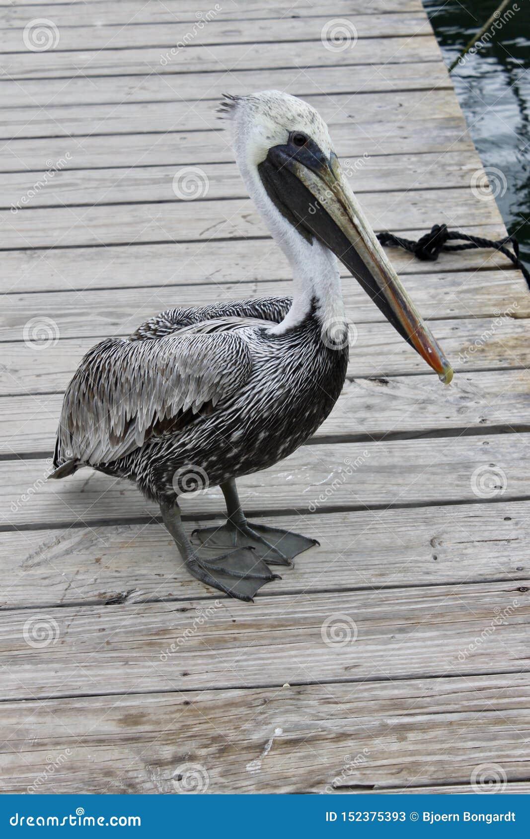 Een pelikaan wacht op sommige vissen