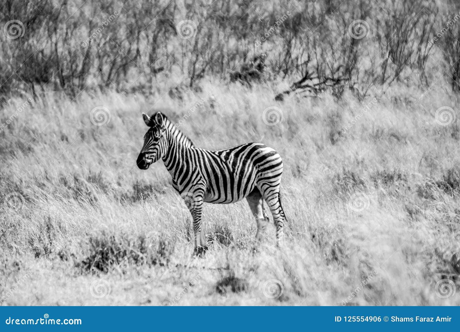 Een portret van Zebra in zwart-wit in het Nationale park van Kruger