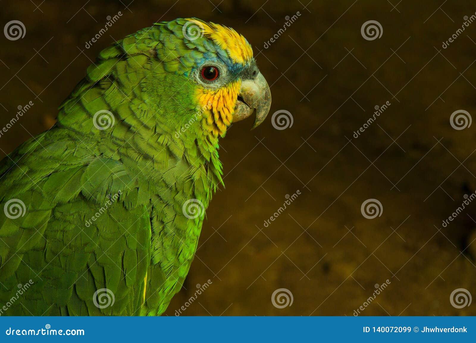 Een potrait van een wilde gele geleide papegaai in de wildernis van Ecuador