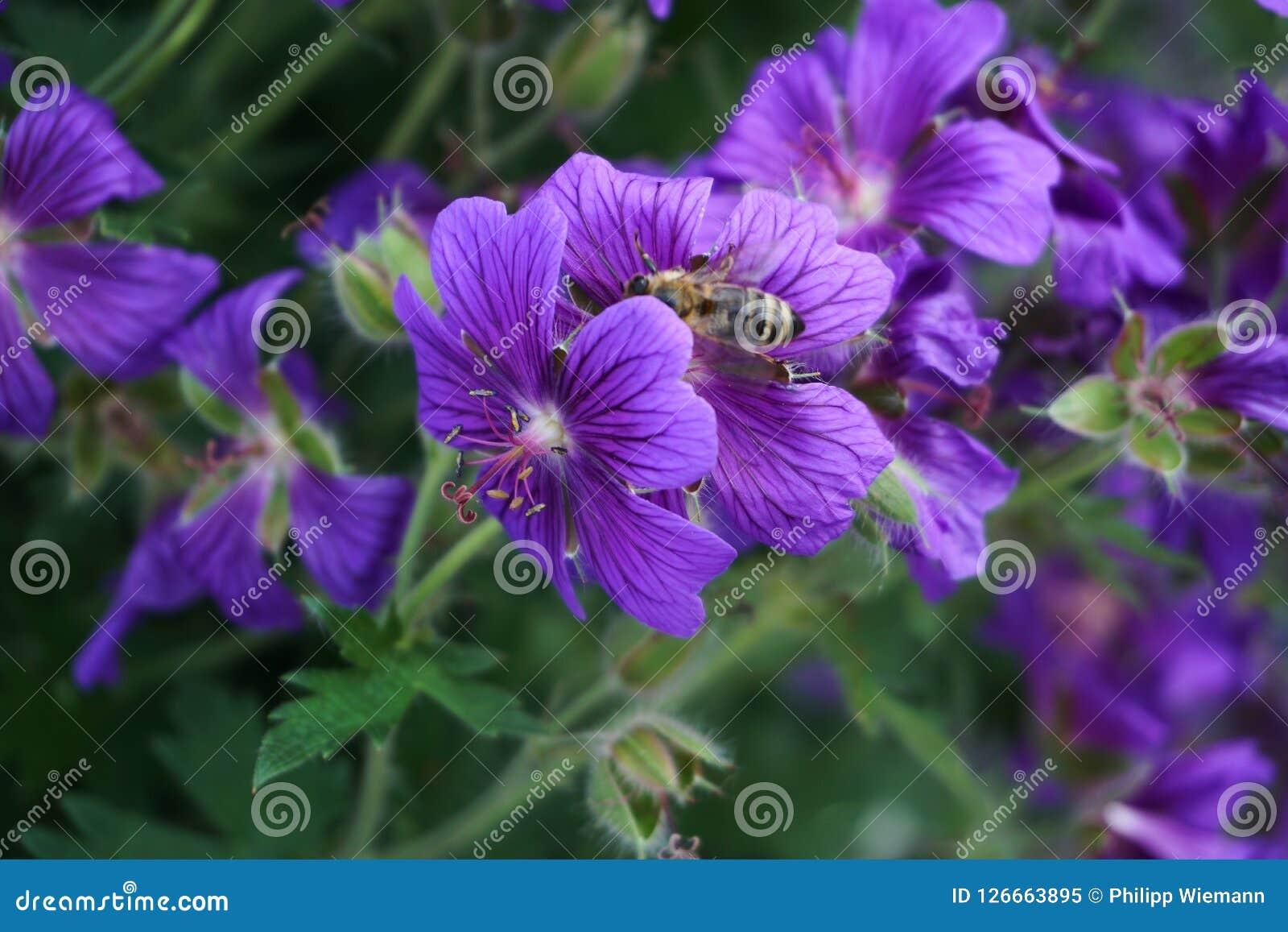 Een purpere bloem in een tuin