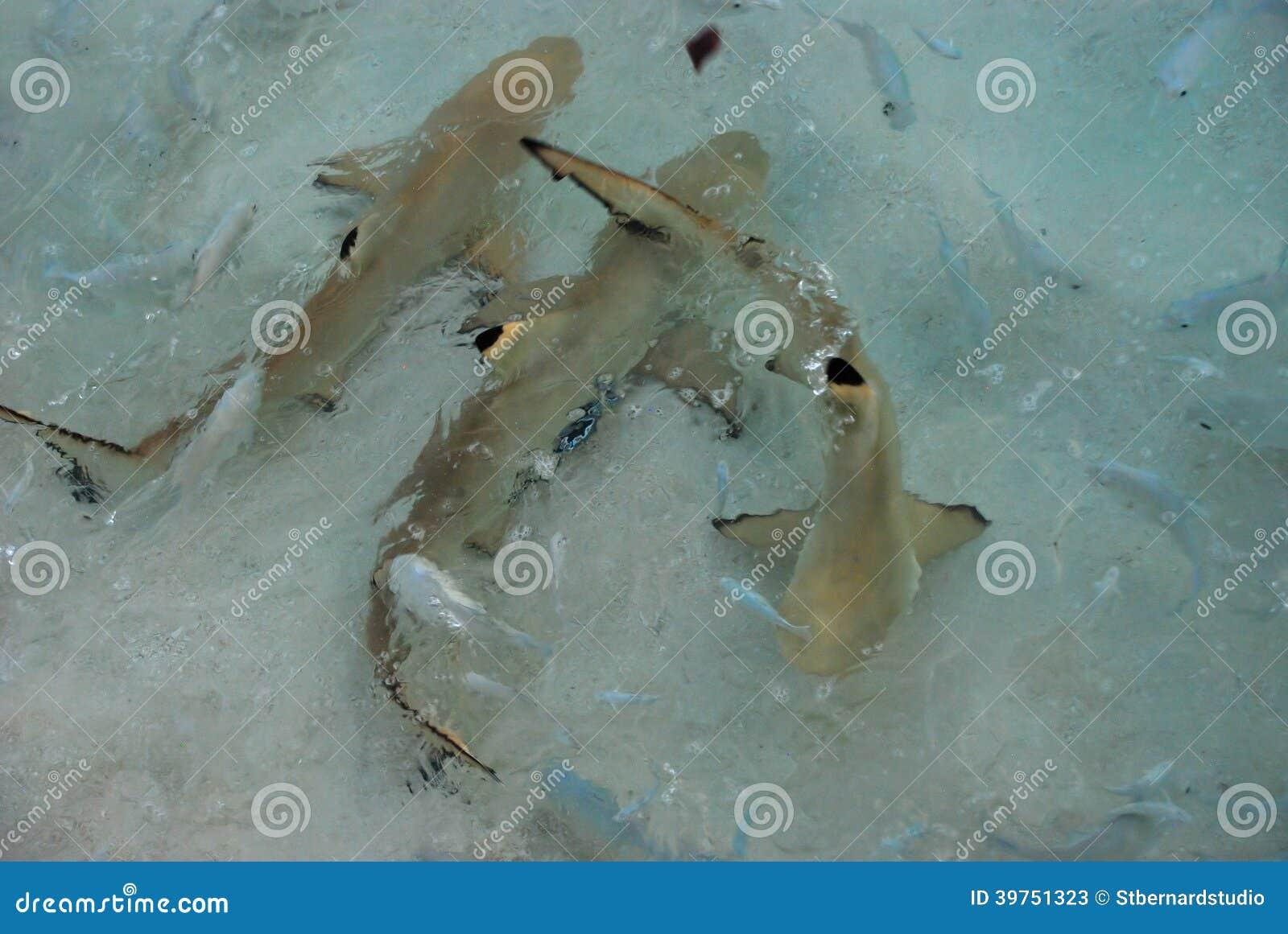 Een Rilling van Haaien vond samen het stoeien