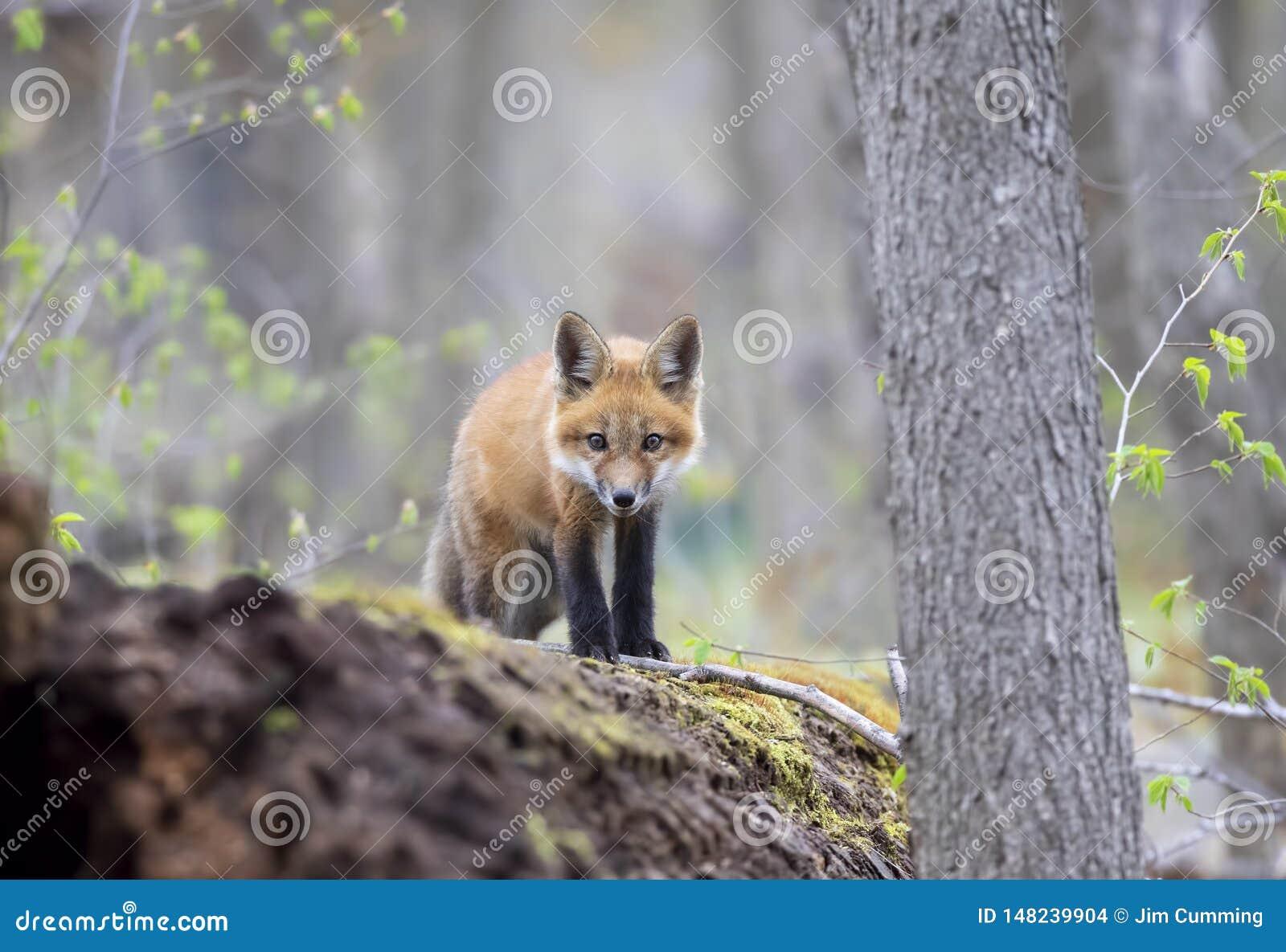 Een Rode vosuitrusting Vulpes die vulpes bovenop een bemost logboek zich diep in het bos in de vroege lente in Canada bevinden