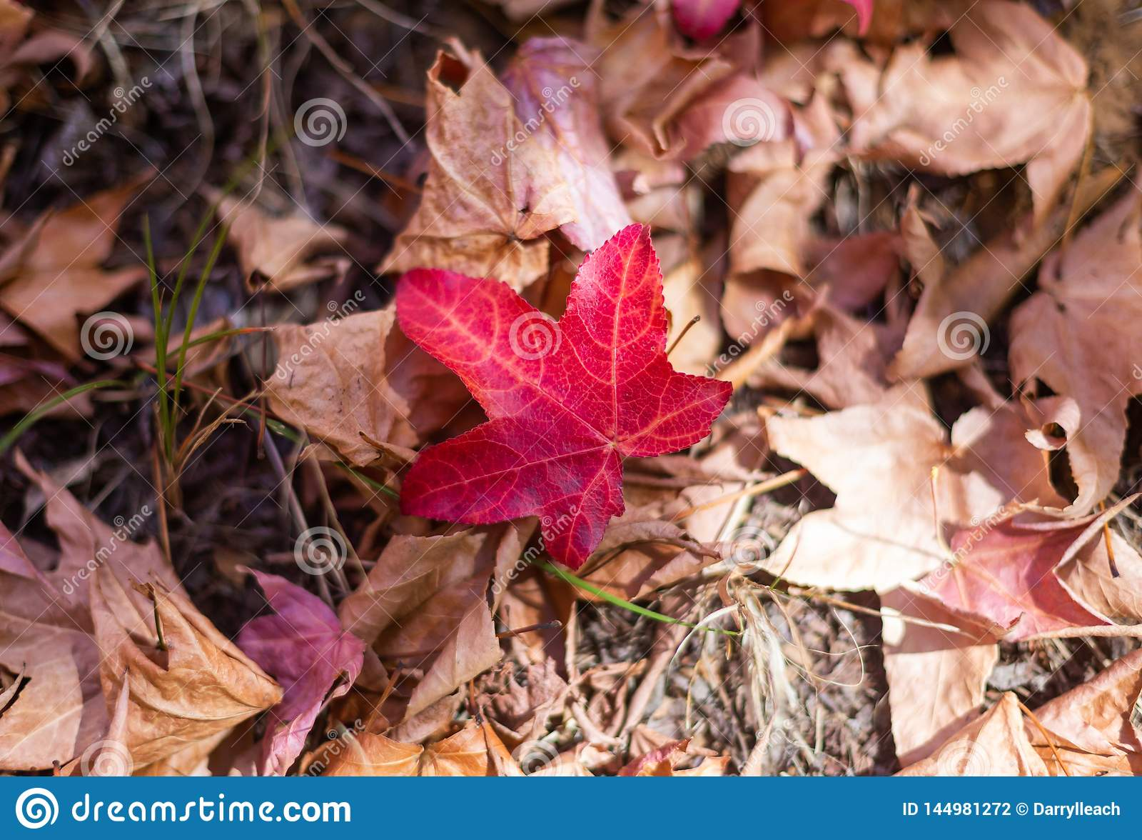 Een Rood blad ter plaatse tijdens het seizoen van de de herfstdaling in van Zuid- onderstel torenhoog botanisch tuinen Australië