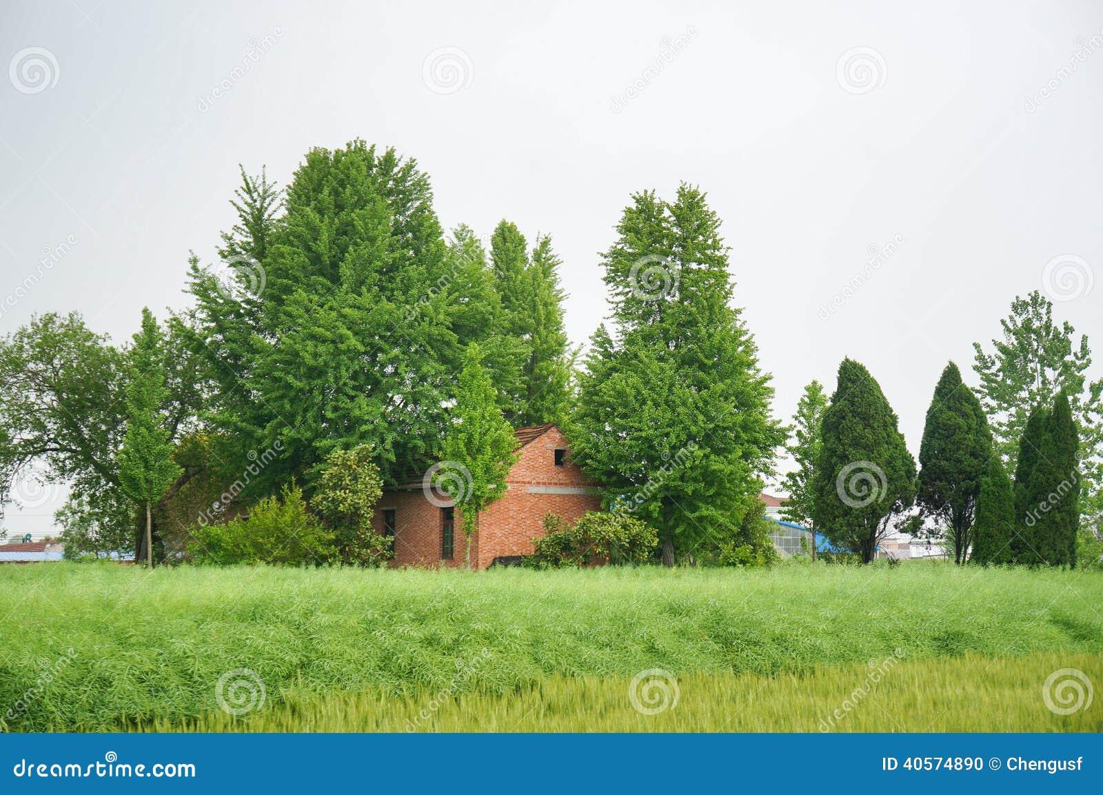 Een rood huis van het baksteen chinees die dorp door grote ginkgobomen wordt omringd stock foto - Amenager een voorgerecht van het huis ...