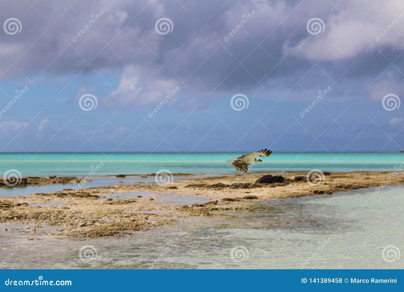 Een roofvogel, Long Island, de Bahamas