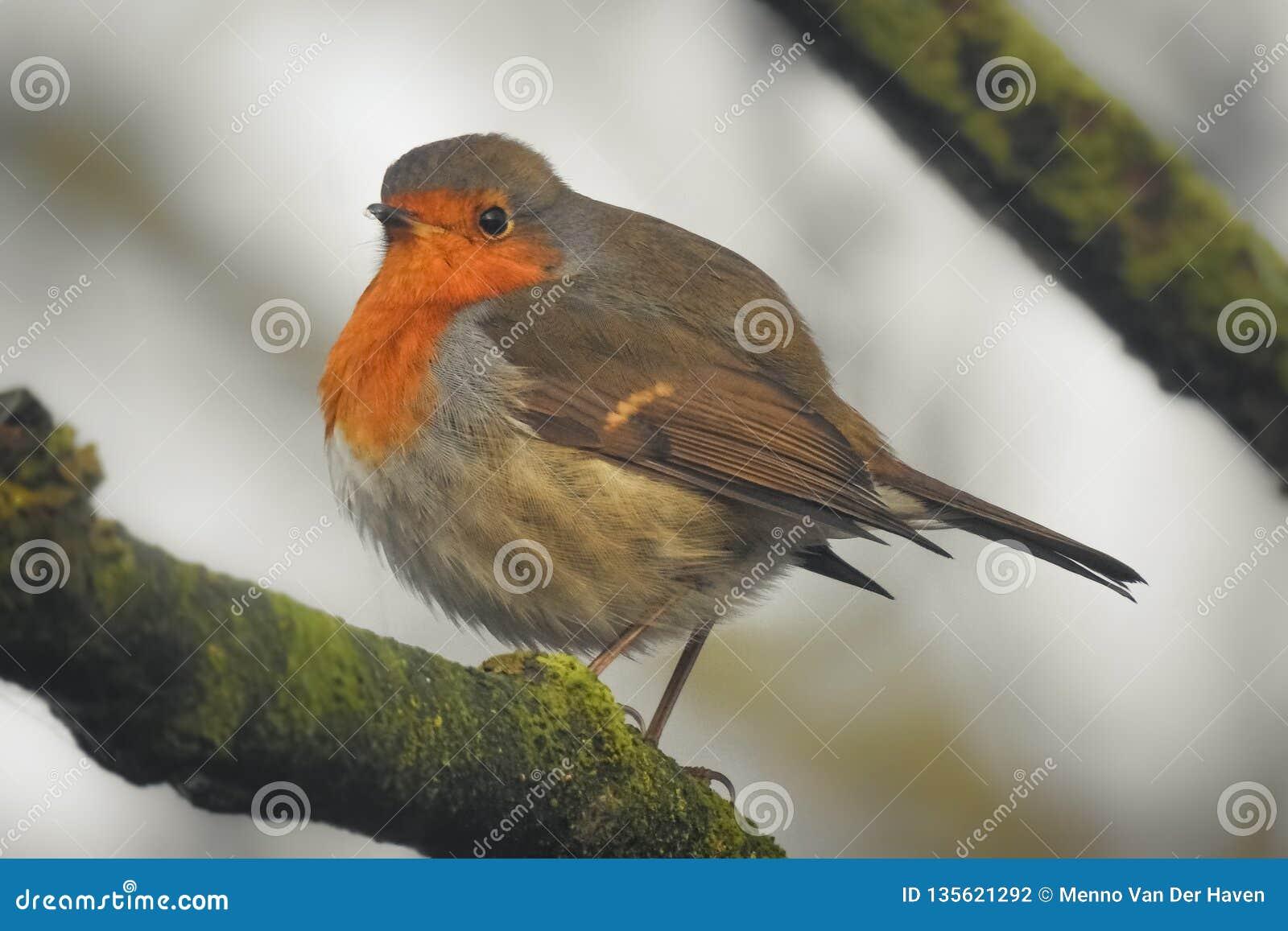 Een rubecula van het roodborstjeerithacus van Robin op een boomtak