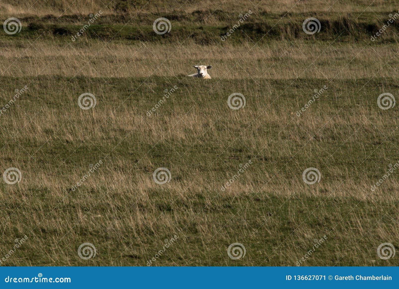 Een schaap die over een heuvel turen