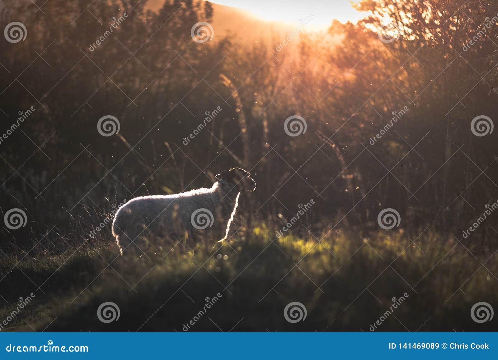 Een schaap die uit naar een zonsondergang staren