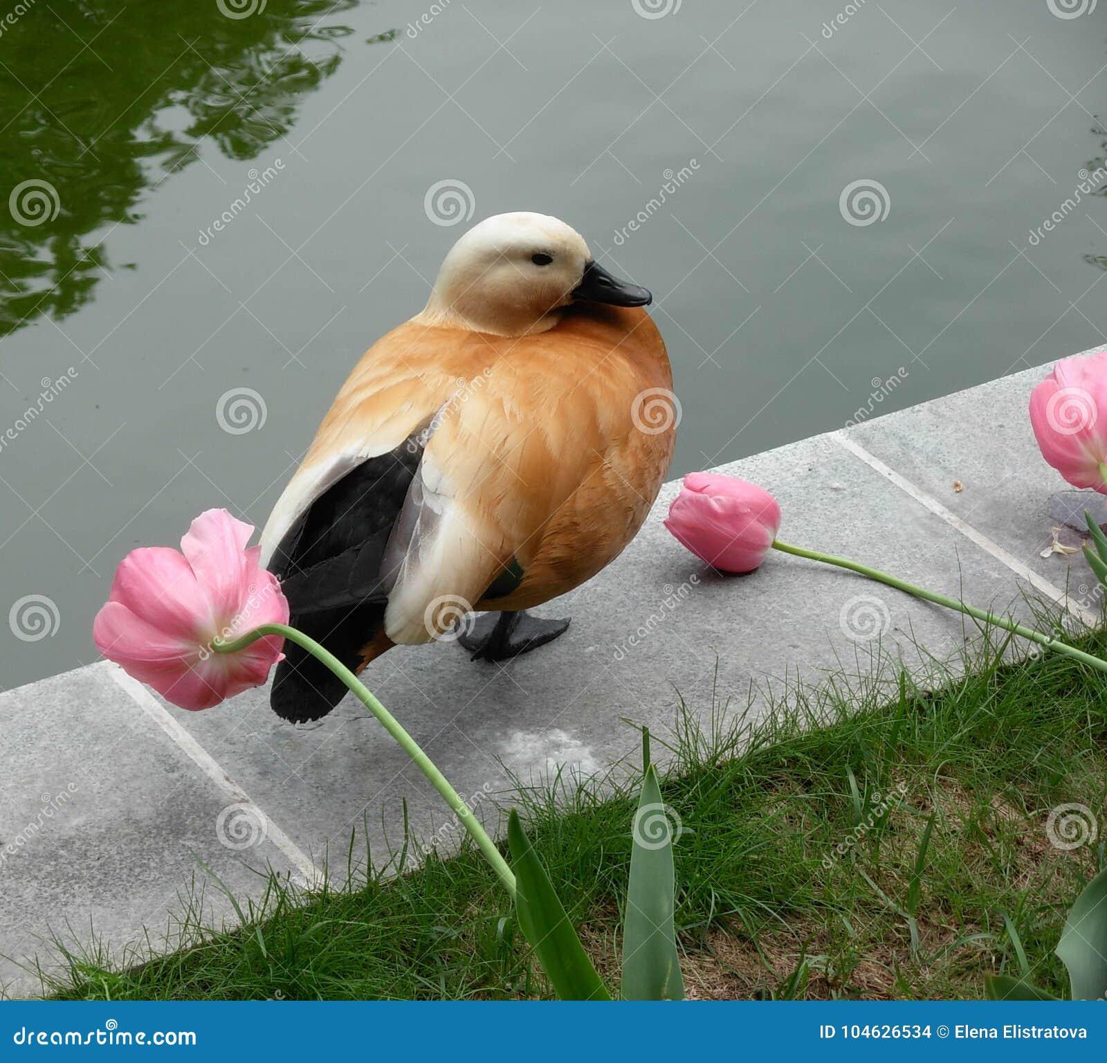 Download Een Shelduck Onder De Tulpen In Aptekarsry Ogorod Moskou Stock Foto - Afbeelding bestaande uit aardig, stemming: 104626534