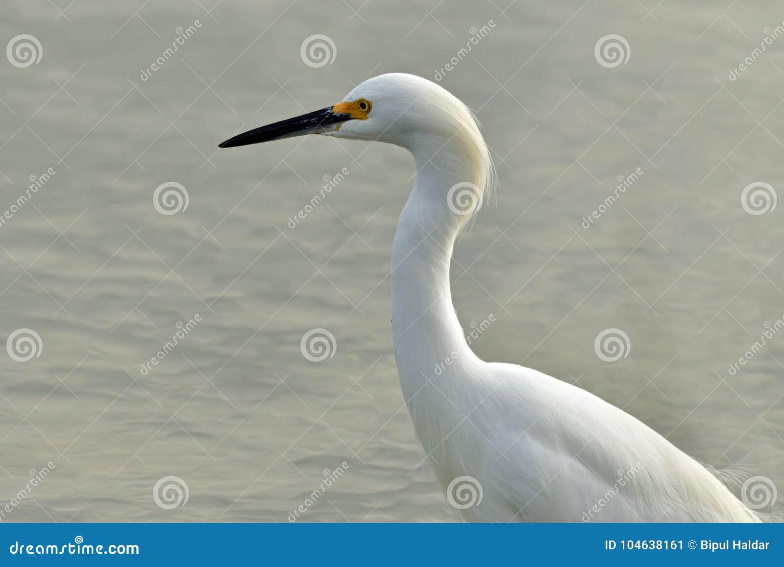 Download Een Sneeuwaigrette Clouse-omhoog Stock Afbeelding - Afbeelding bestaande uit vogel, vissen: 104638161