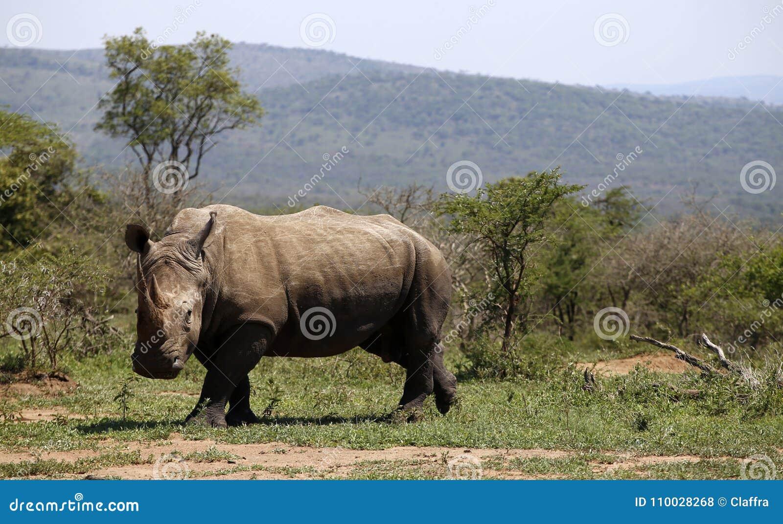 Een solitaire witte rinoceros in NP, Afrika