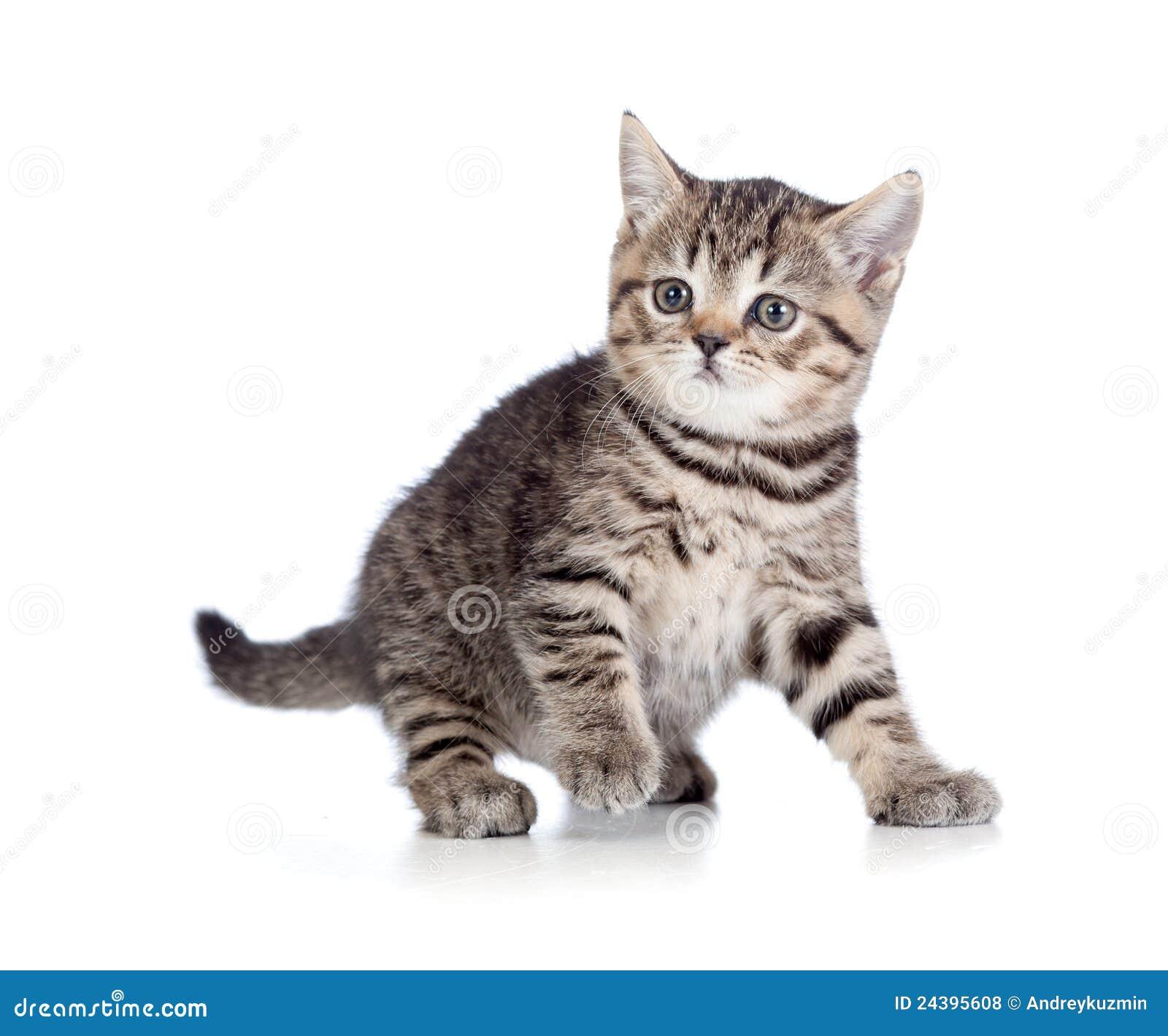 een speels katje brits ras gestreepte kat stock foto afbeelding bestaande uit vloer spel. Black Bedroom Furniture Sets. Home Design Ideas