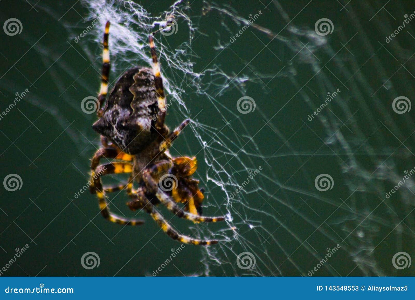 Een Spin die op Web wachten, sluit omhoog