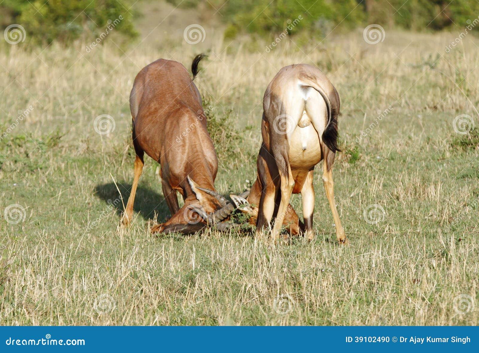 Een strijd tussen twee Topi-antilopen