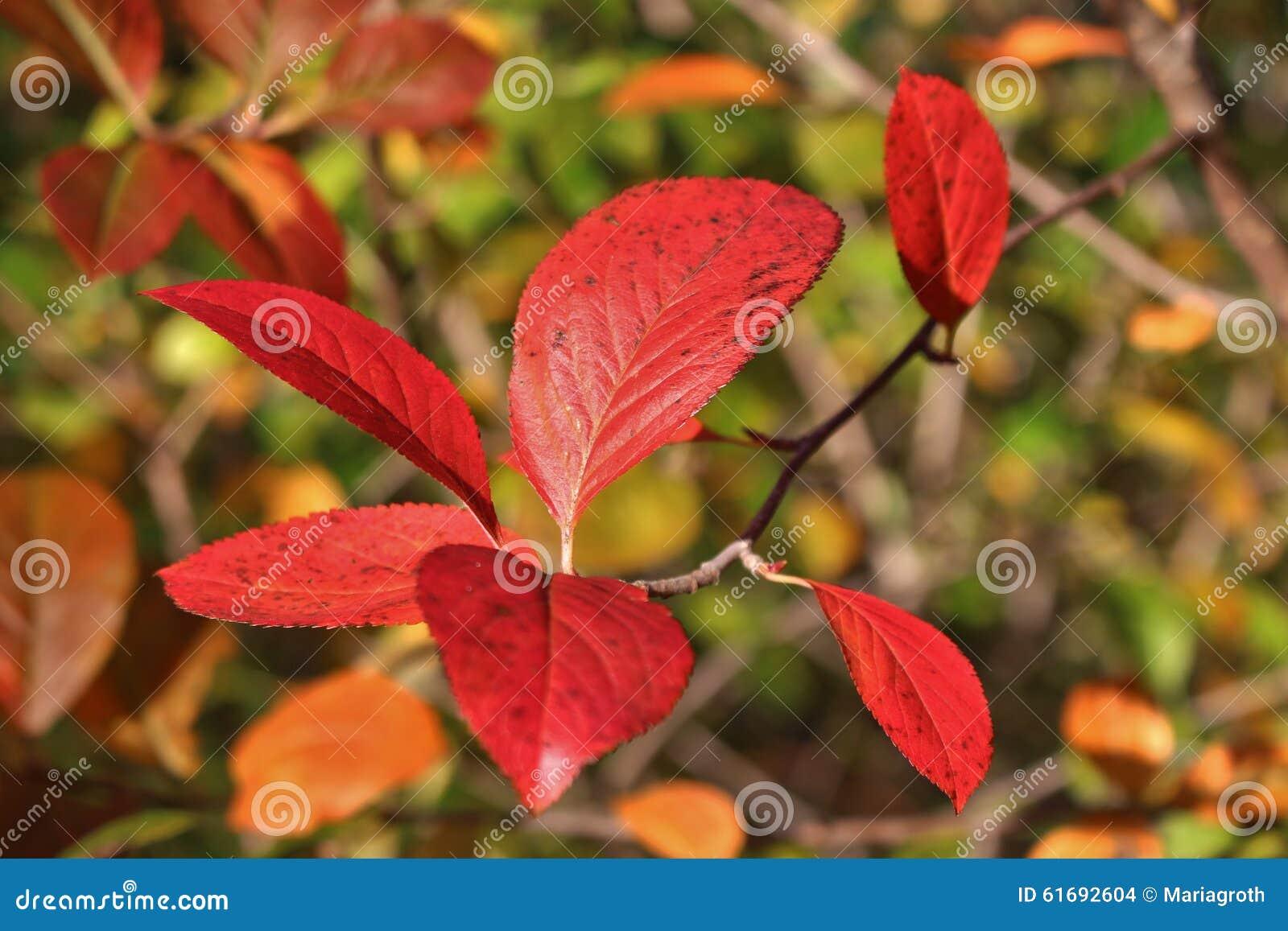 Een struik met rode bladeren stock foto afbeelding 61692604 - Bush architectuur ...