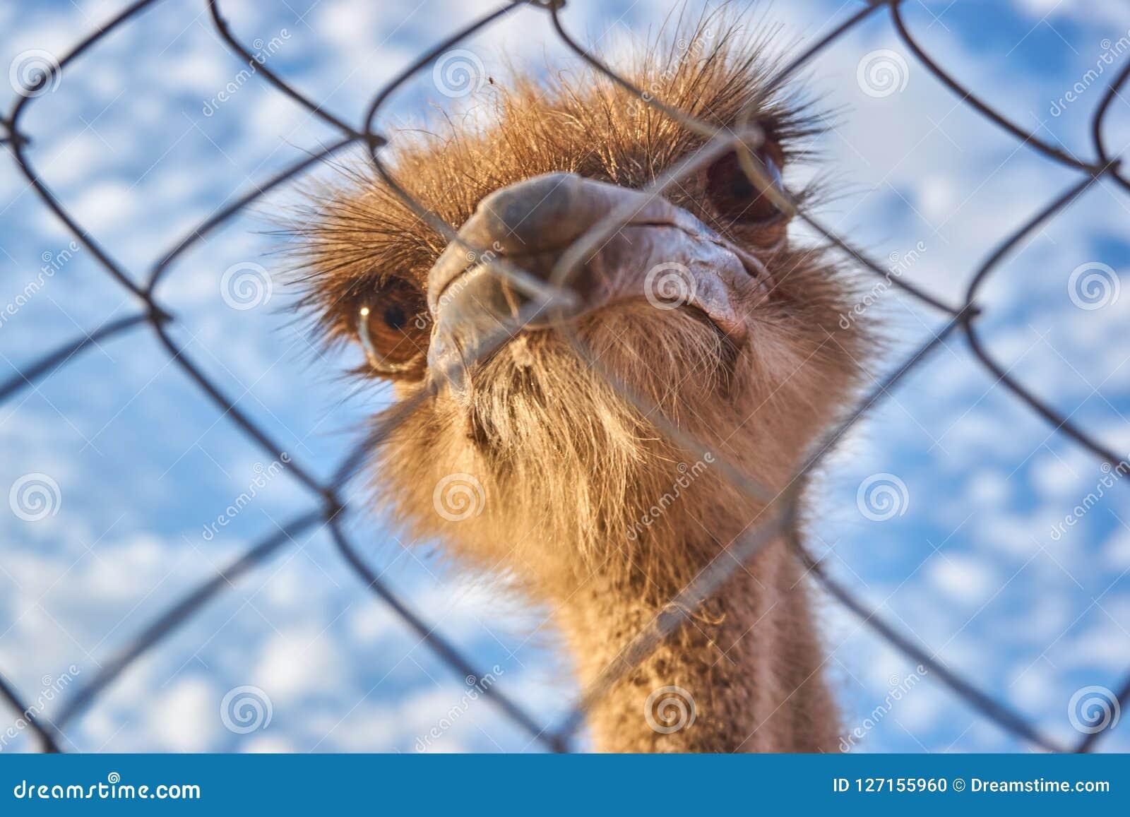Een struisvogel met grote ogen kijkt door de rooster