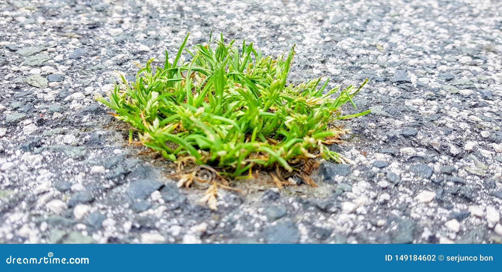 Een stuk van gras is geboren in het asfalt Een beeld dat de macht van aard over de stad symboliseert
