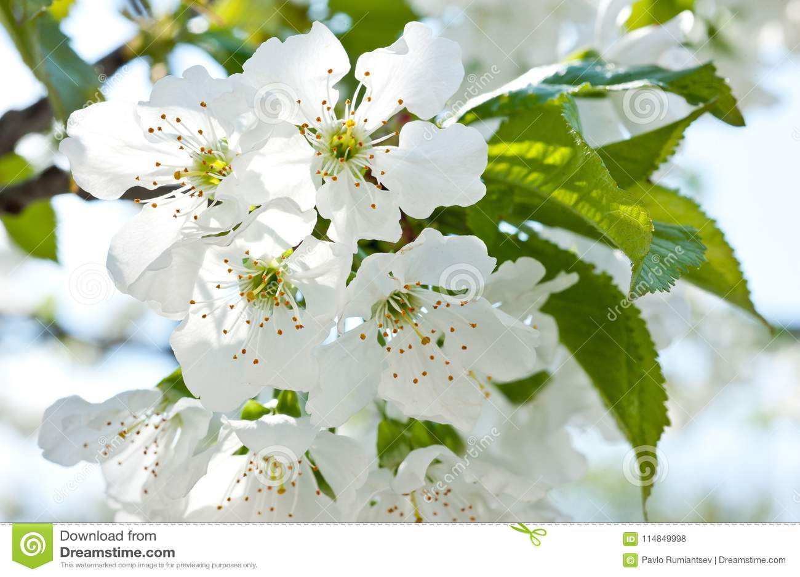 Een tak van bloeiende kers met tot bloei komende witte bloemen