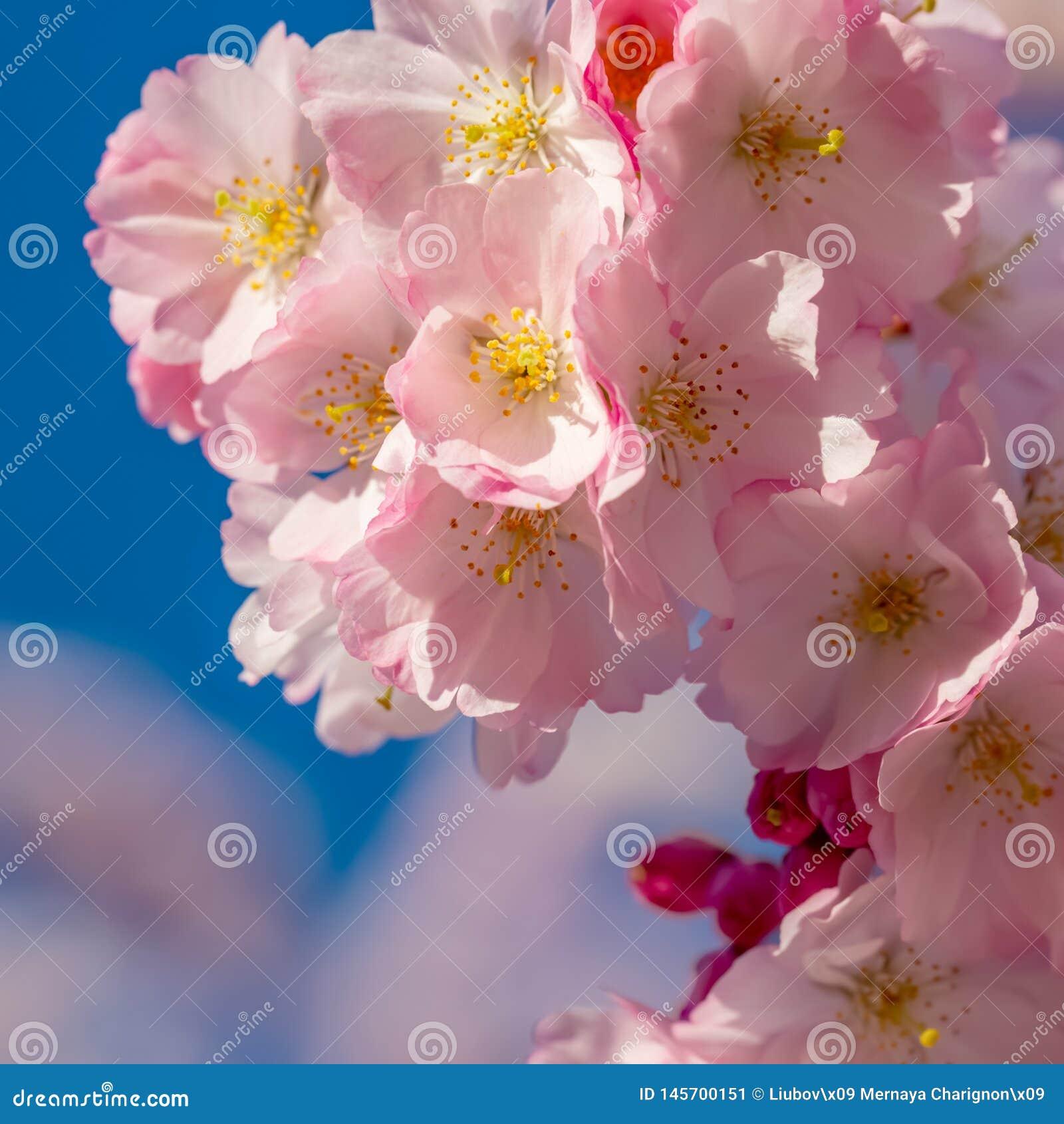 Een tak van kersenbloesems Bloeiende kers