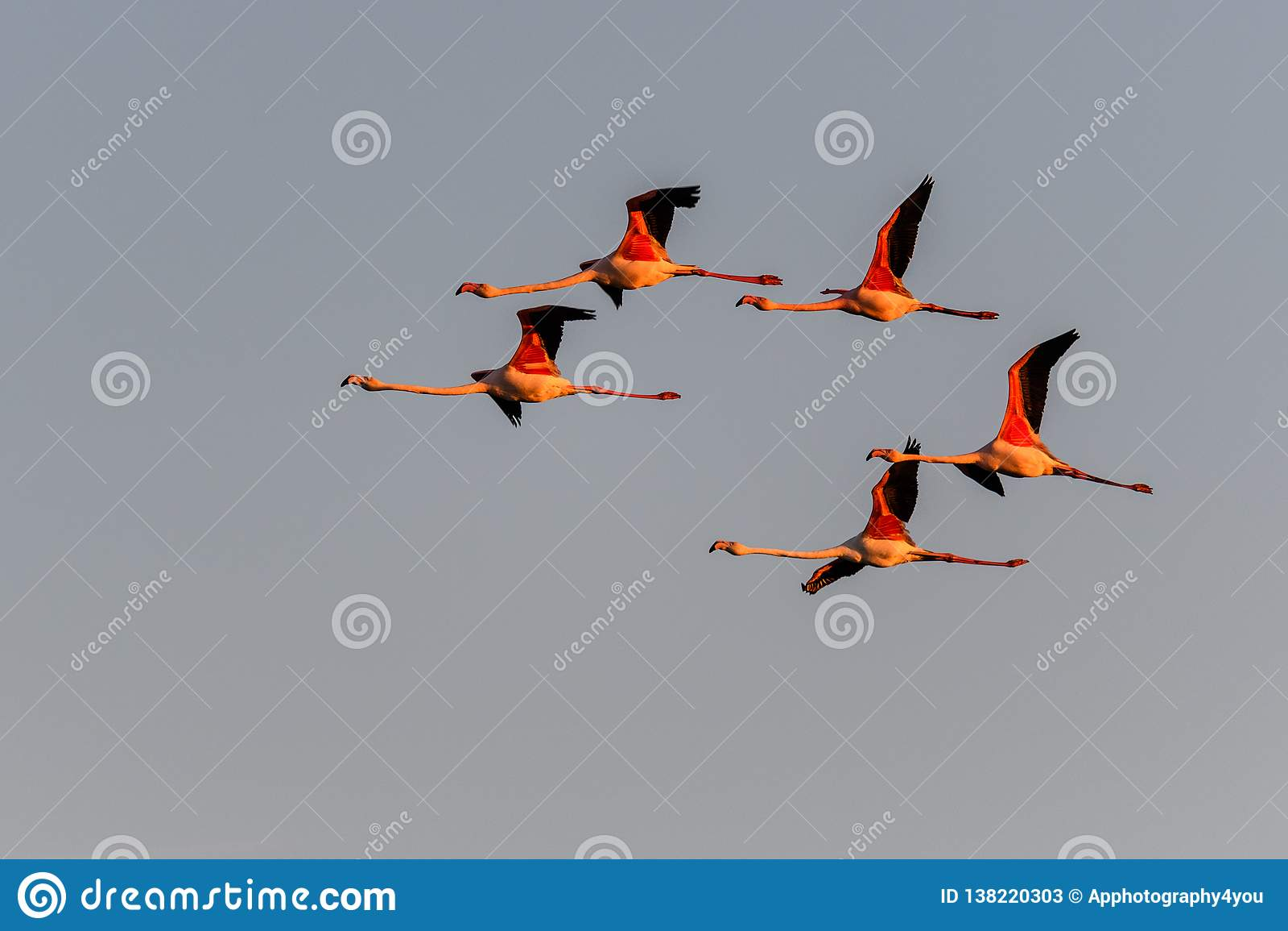 Een troep van flamingo s tijdens de vlucht