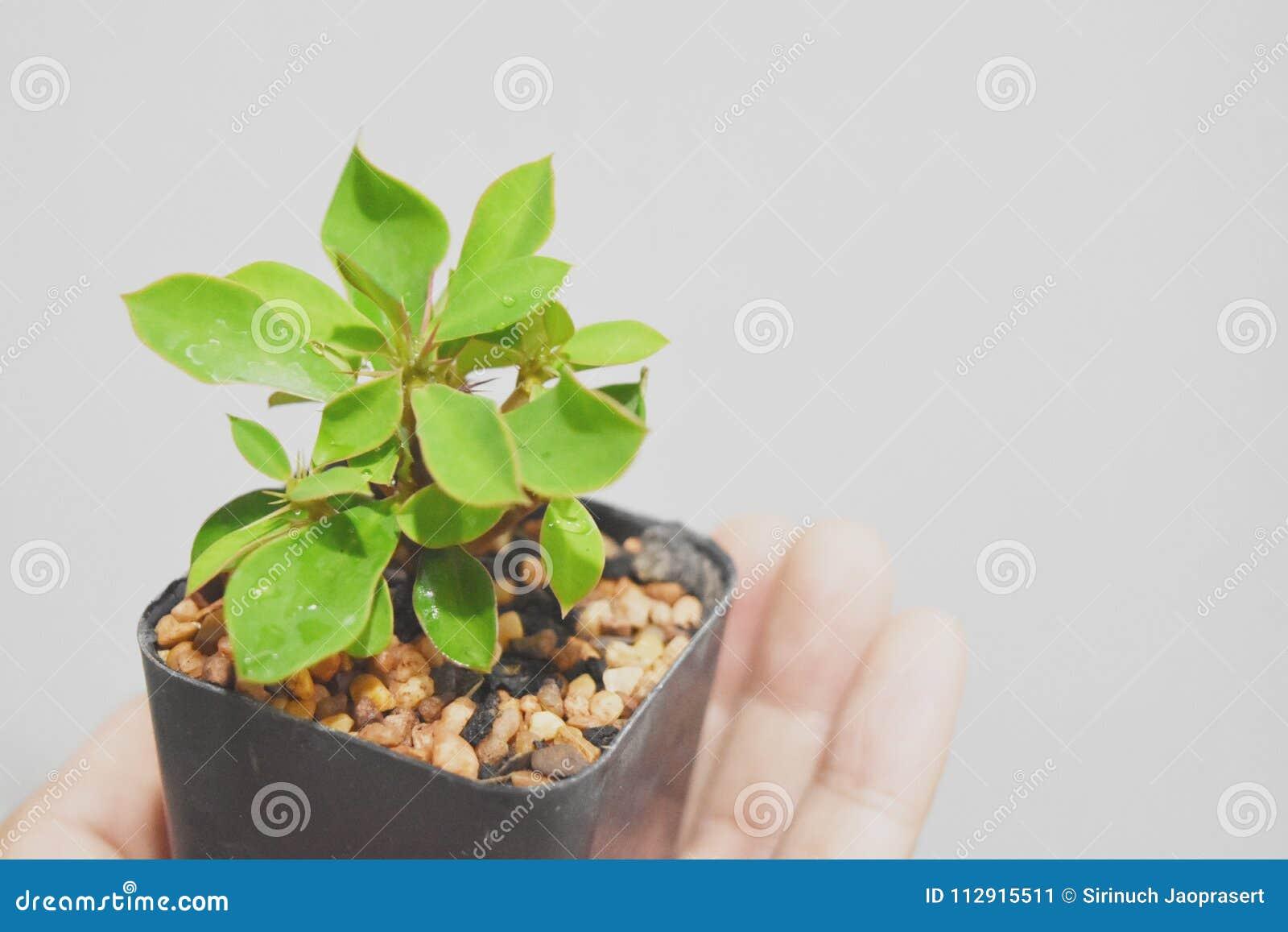 Een uiterst kleine die boom van Wolfsmelkmilii mild op een hand op een zachte witte achtergrond wordt gehouden