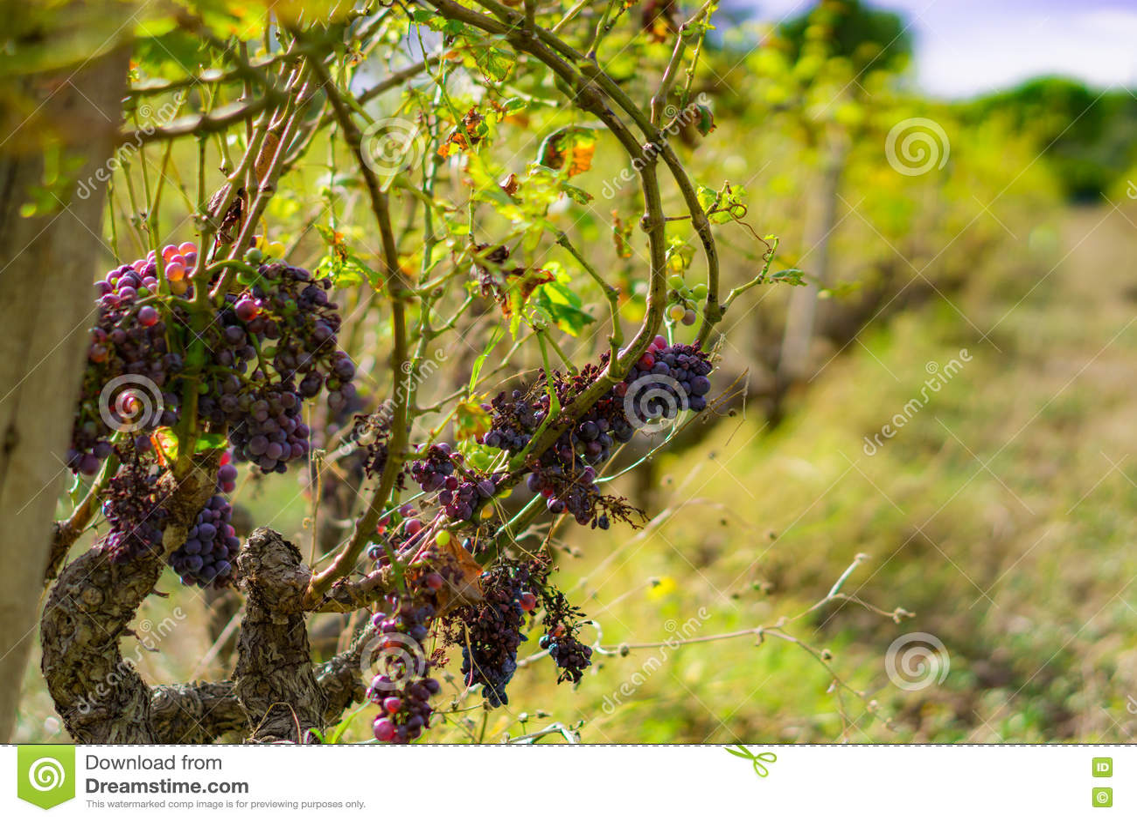 Een verlaten wijngaard