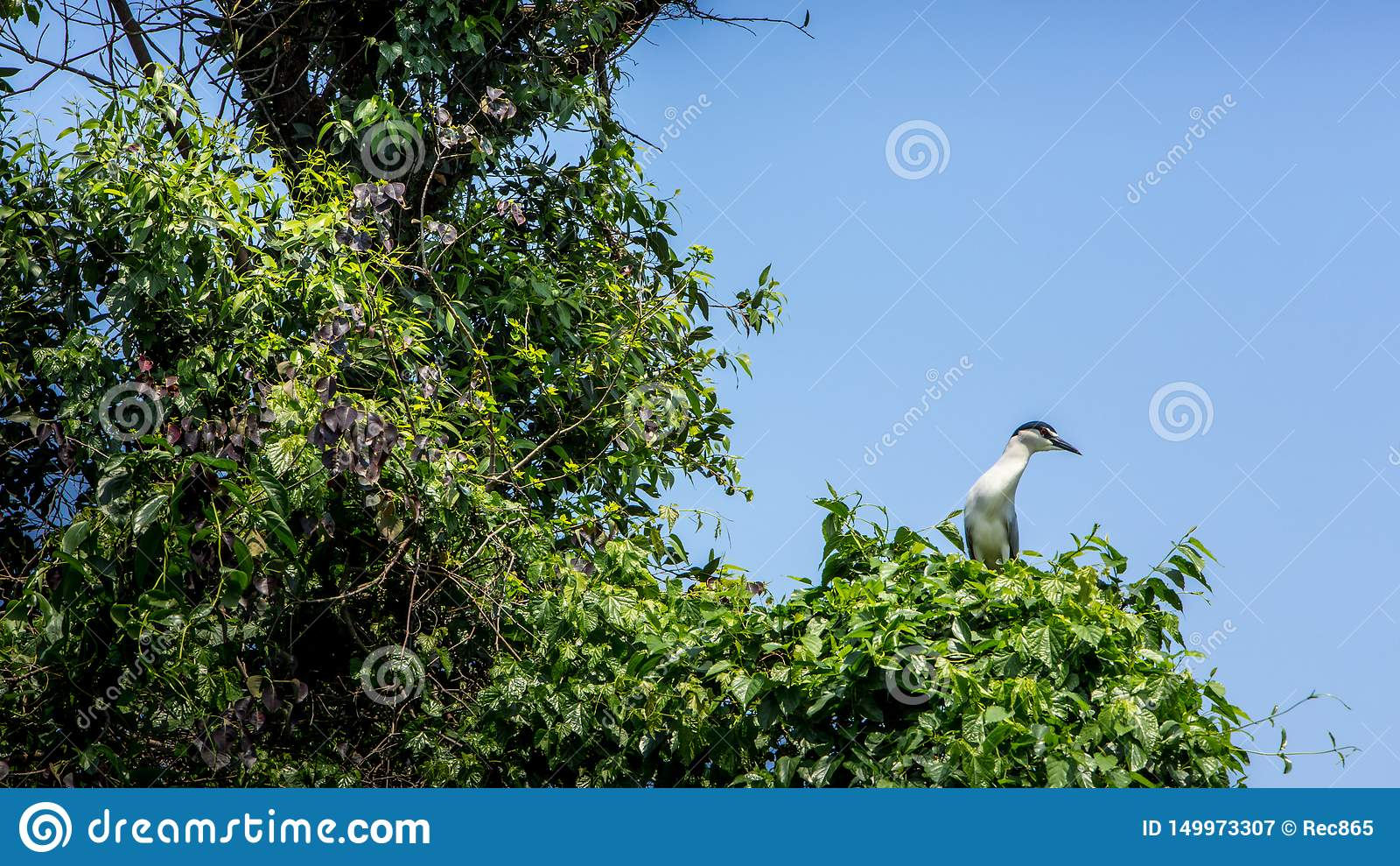 Een vogel Nycticorax Nycticorax, zwart-bekroond nachtreiger op de bomen