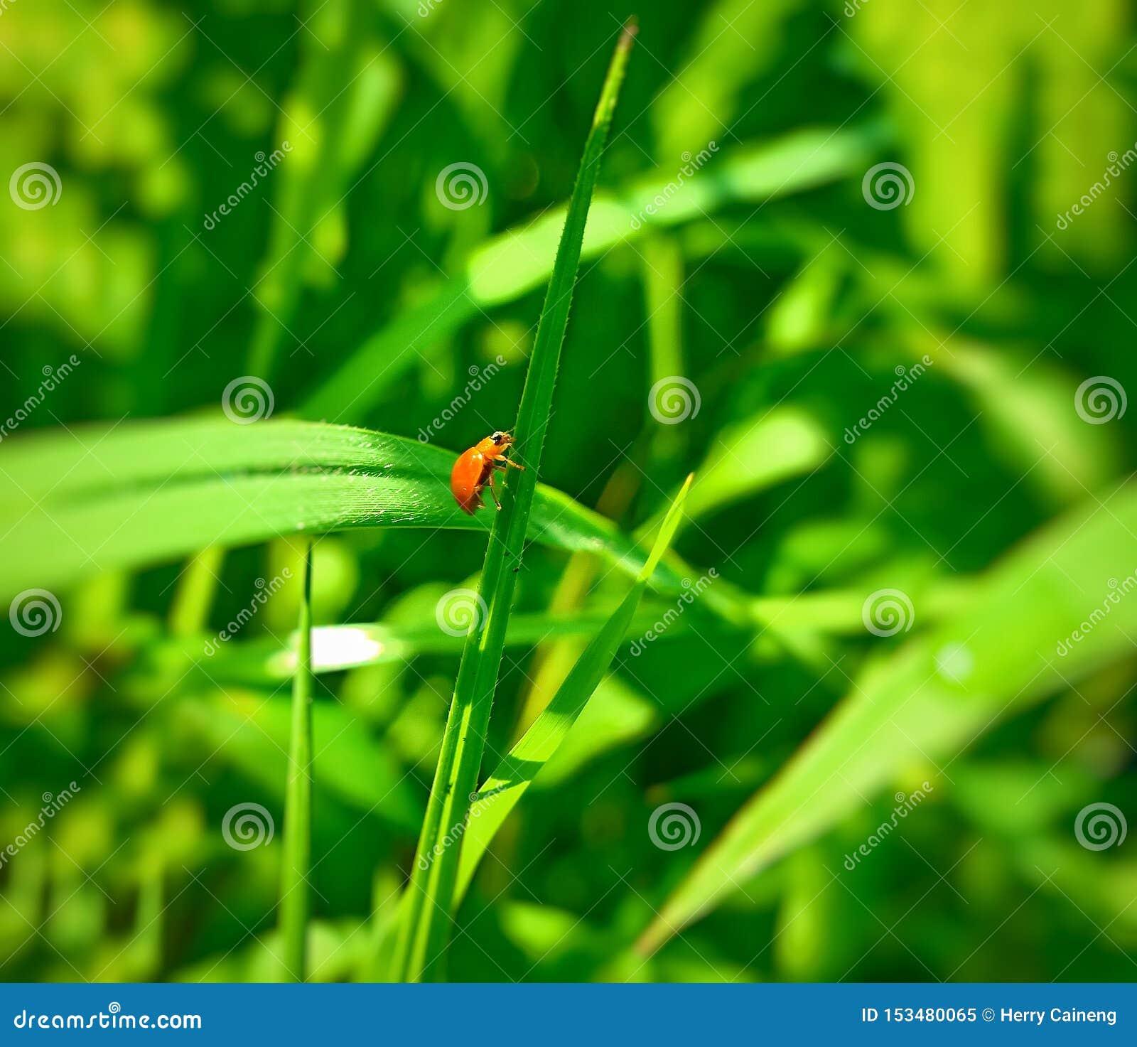 Een volwassen mannelijk uiterst klein oranje Mexicaans boonlieveheersbeestje, dameinsect, de Geleedpotigen van de damevogel: Inse