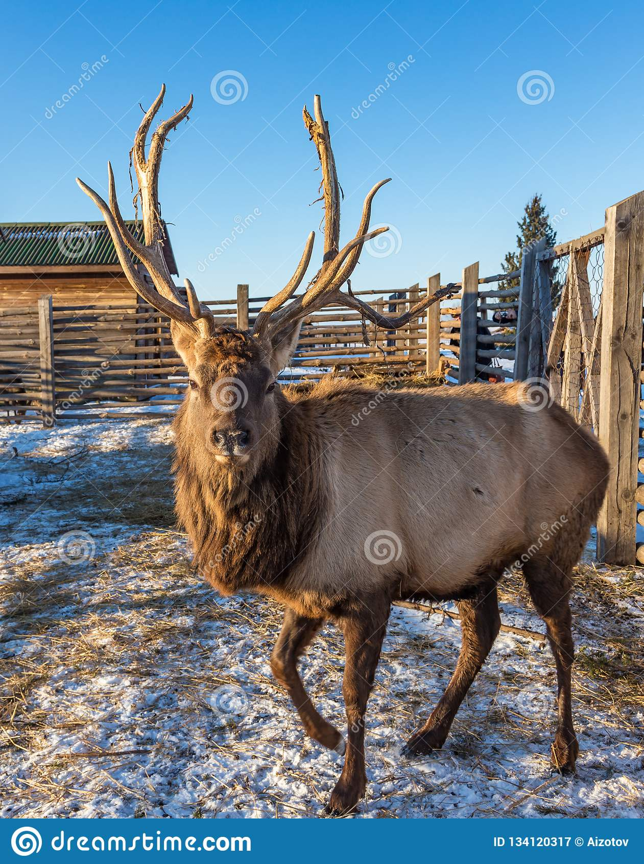 Een volwassen maral mannetje met grote hoornen bevindt zich in de pen, Altai, Rusland