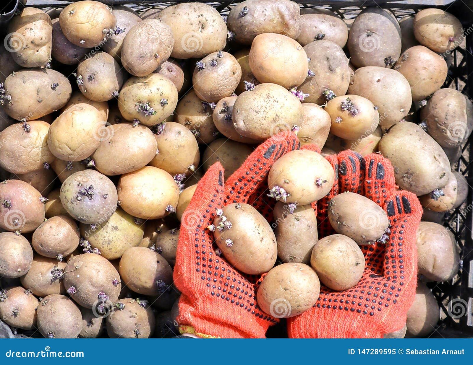 Een vrouw gekleed in het werkhandschoenen houdt aardappels