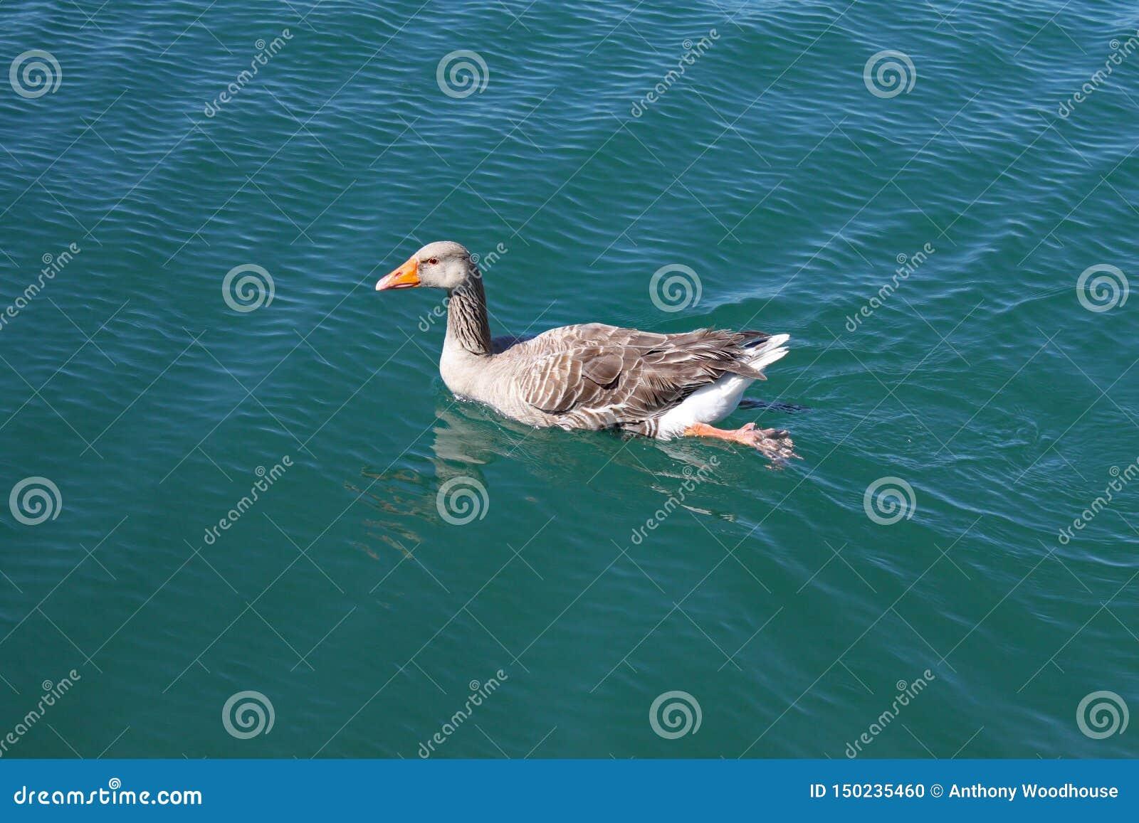 Een vrouwelijke eend zwemt langzaam over een meer en de waterrimpelingen rond haar