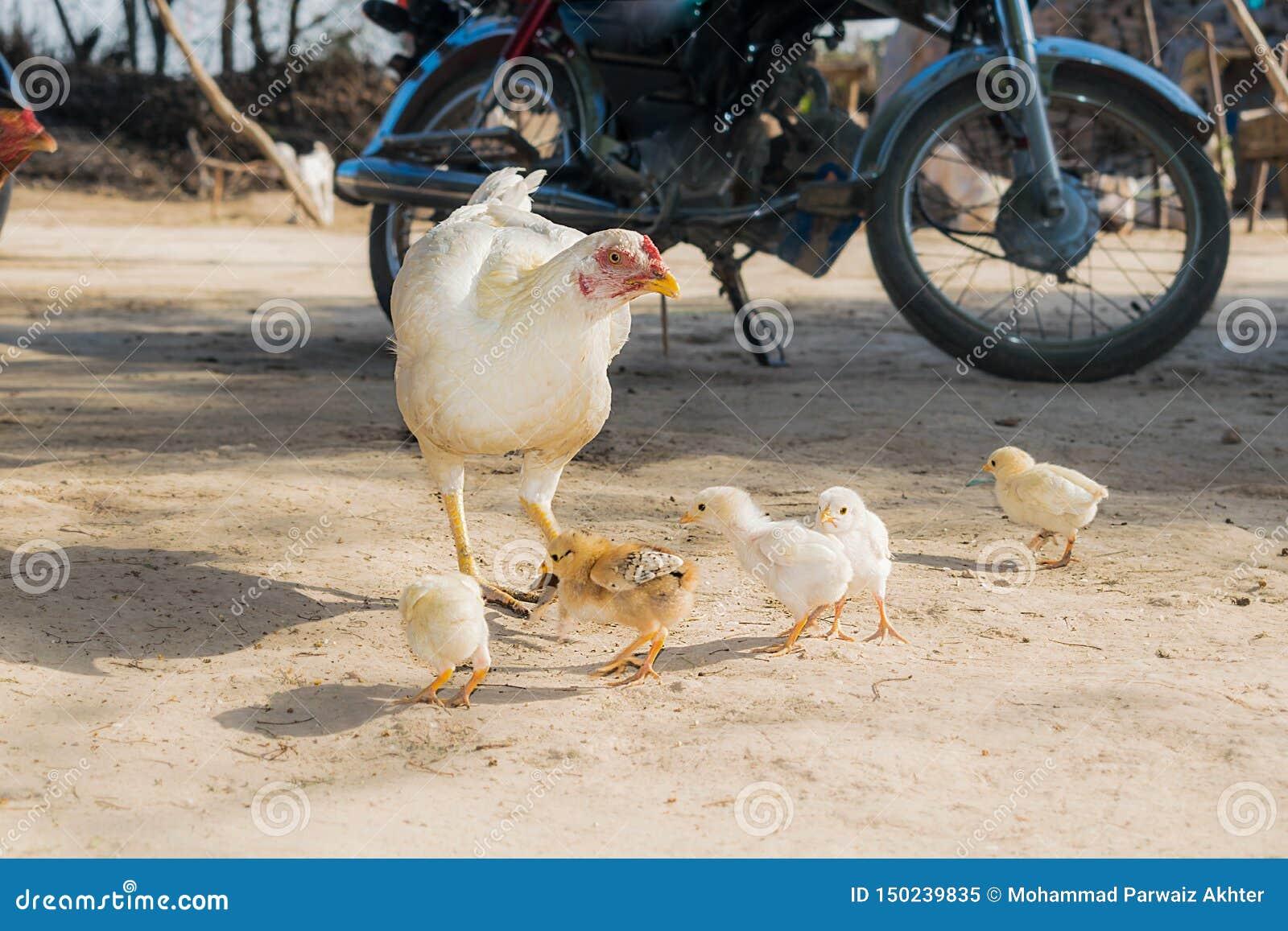 Een vrouwelijke witte kip die zijn kleine kuikens voeden