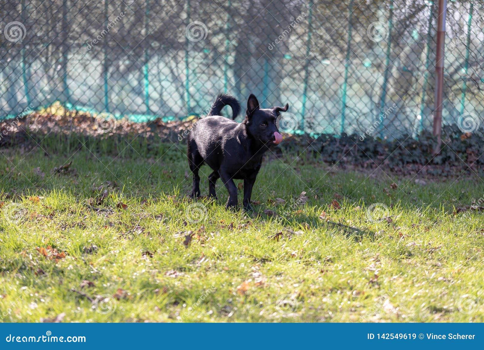 Een weinig zwarte hond in openlucht in groen gras De hond is gemengd van een Labrador
