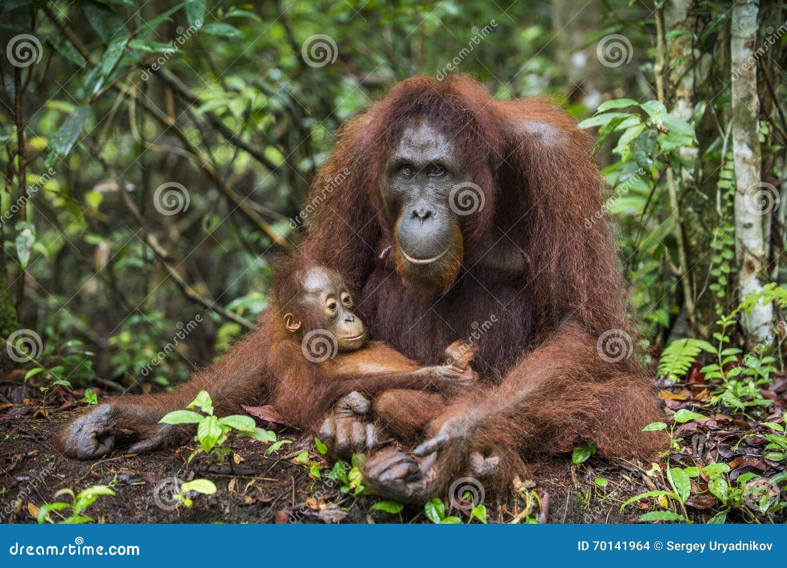 Een wijfje van de orangoetan met een welp