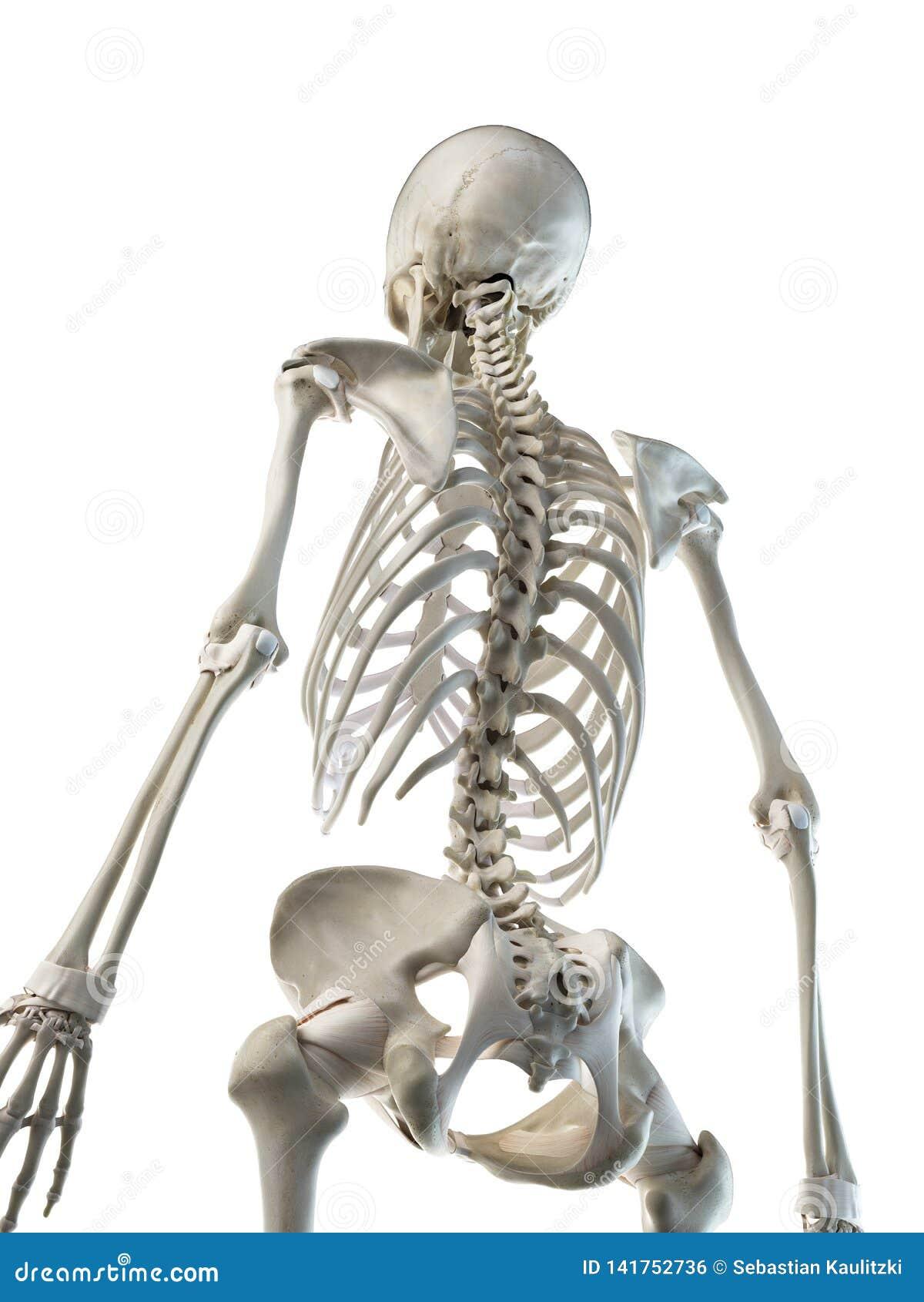 Een wijfjes skeletachtige rug