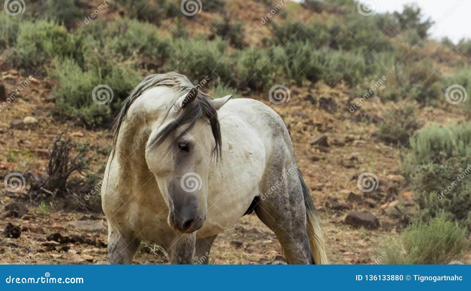 Een wild baaimustang van de Onaquai-wild paardkudde Stoically zich bevindt in de woestijn van Nevada, Verenigde Staten