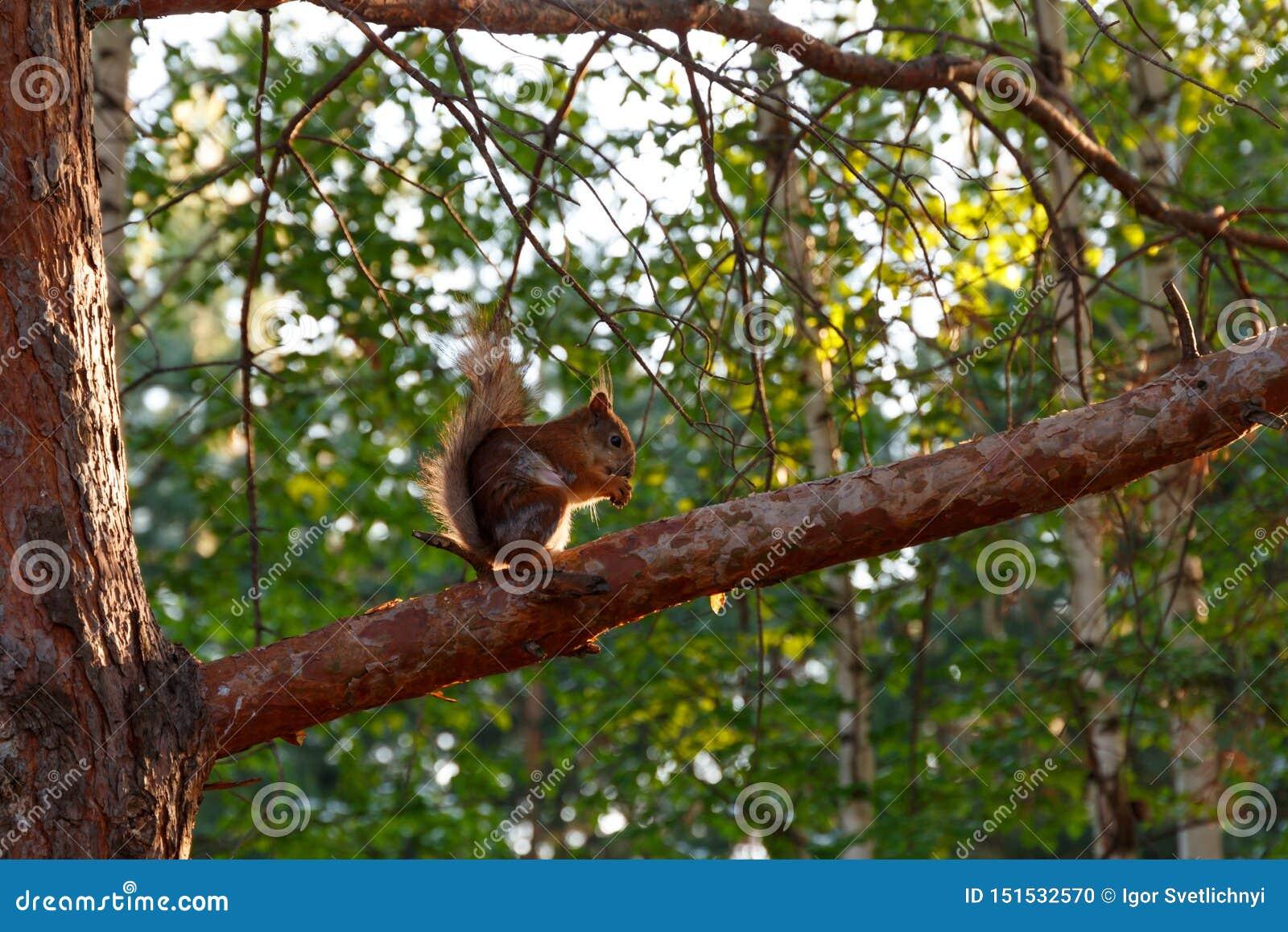 Een wilde eekhoorn zit op een pijnboomtak en eet noten Natuurlijke achtergrond De ruimte van het exemplaar Eekhoorn in aard