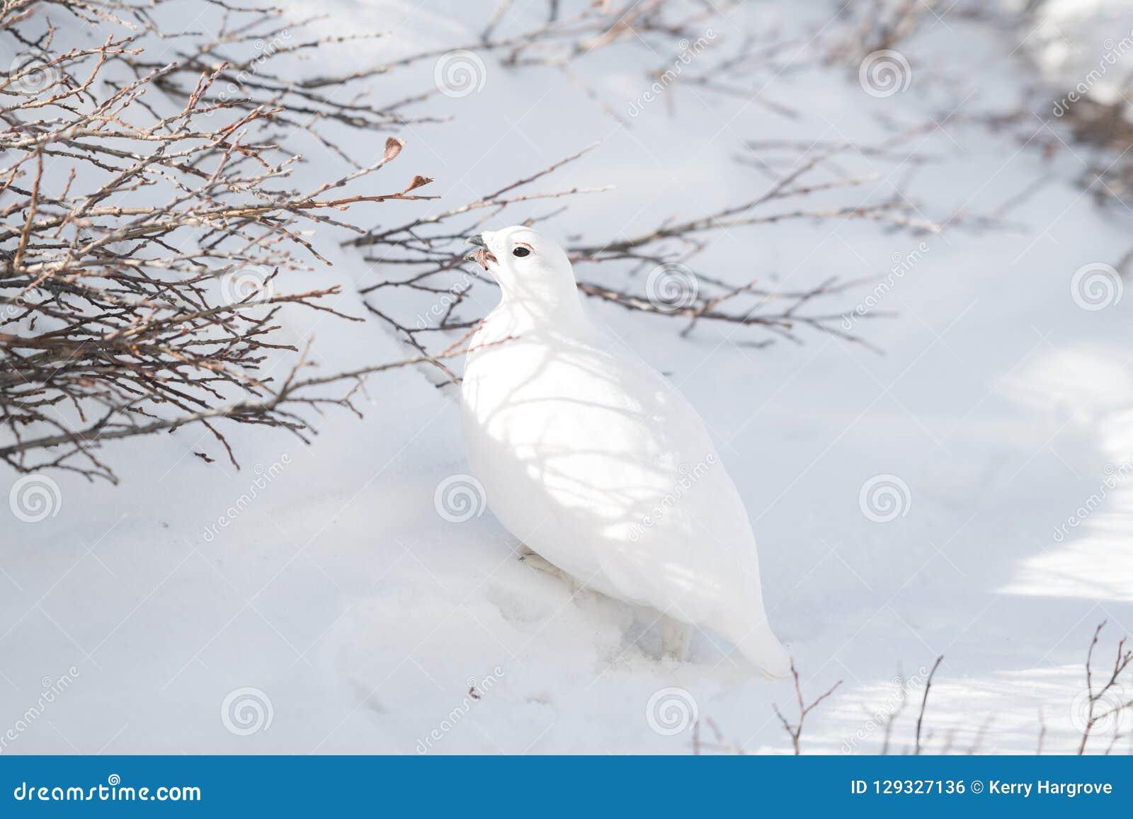 Een wit-De steel verwijderd van Ptarmigan Mannetje die van Bush op een Sneeuwbergweide eten