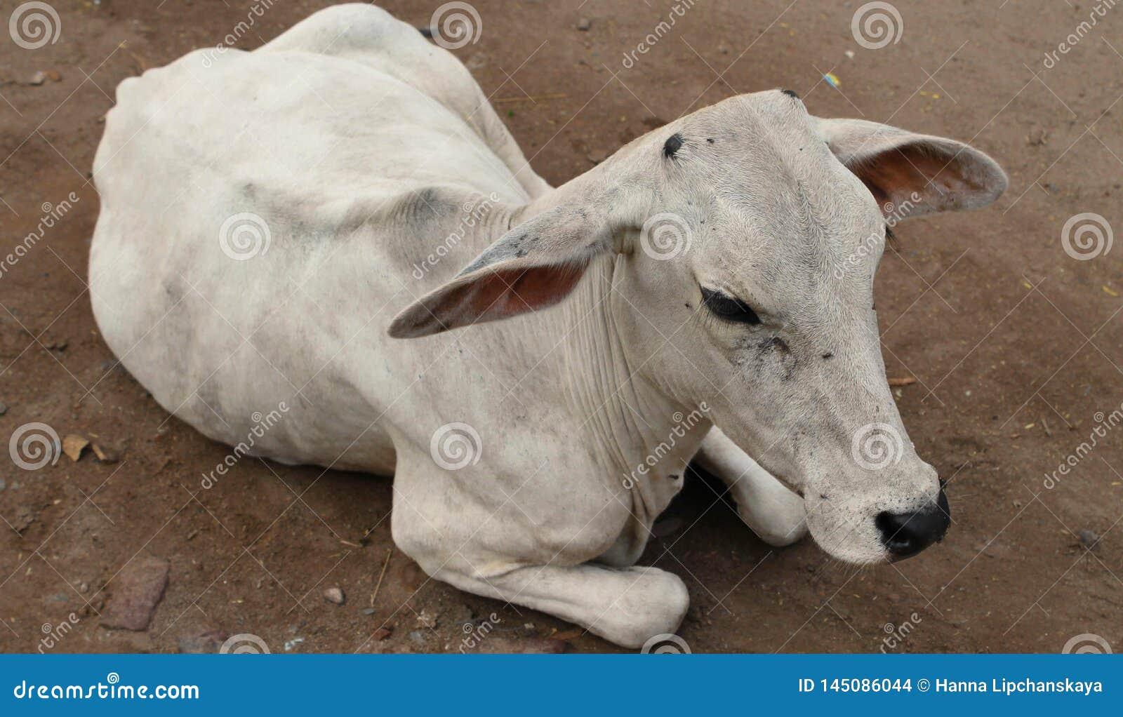 Een witte koe die op de grond liggen
