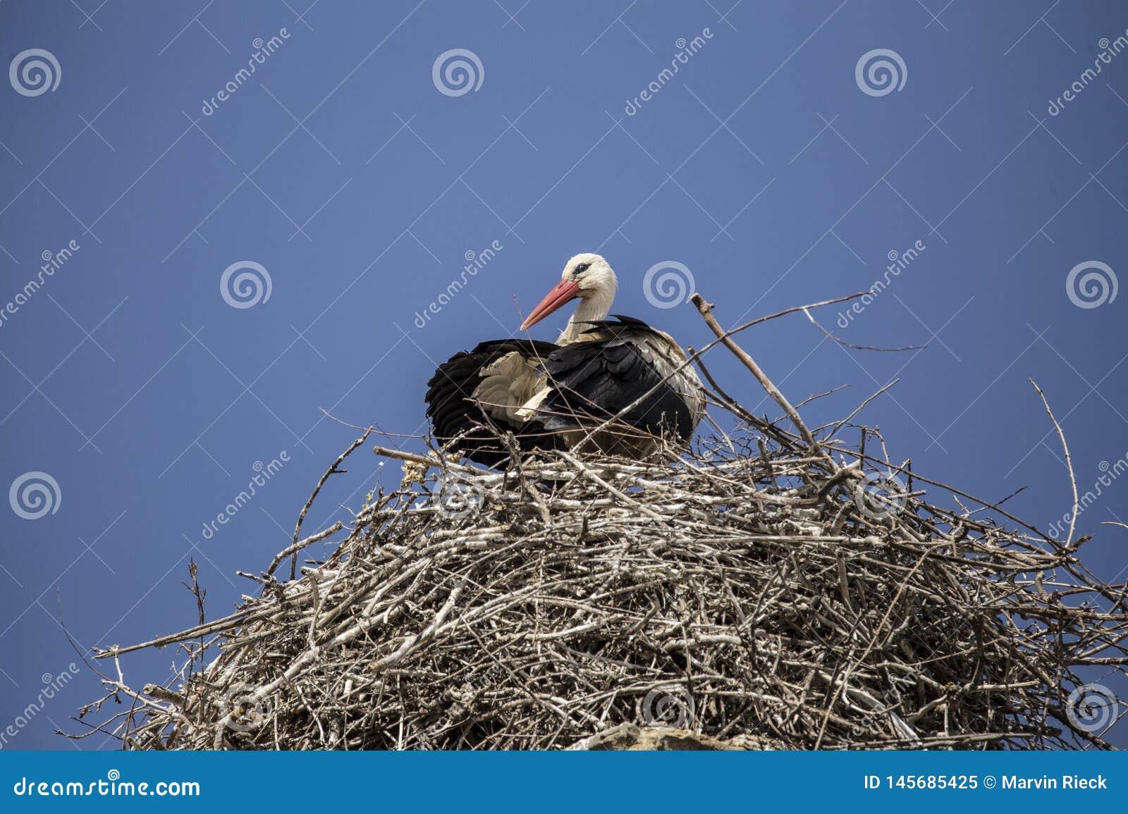 Een witte ooievaar in zijn nest